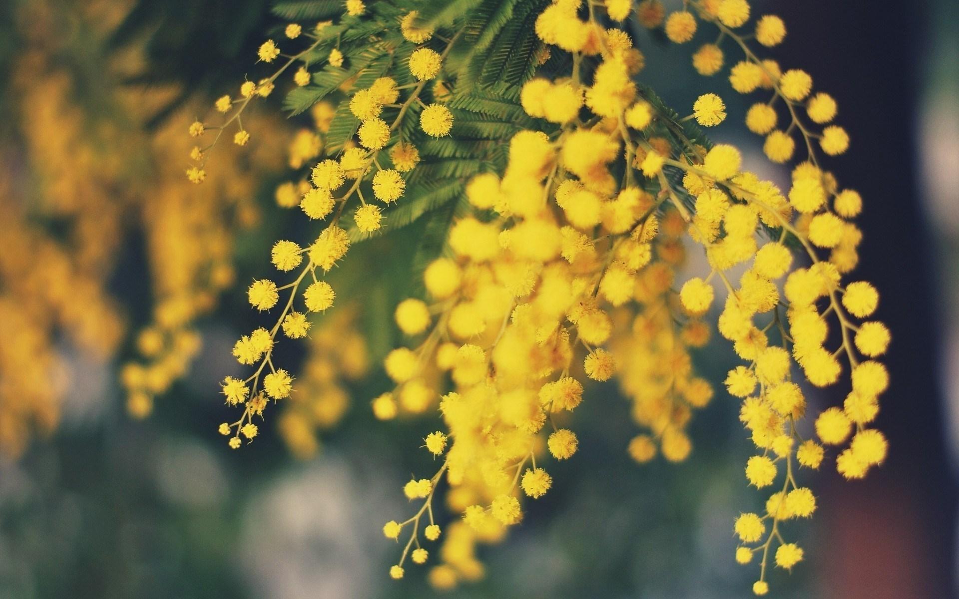 Acacia Dealbata Mimosa Flowers Yellow