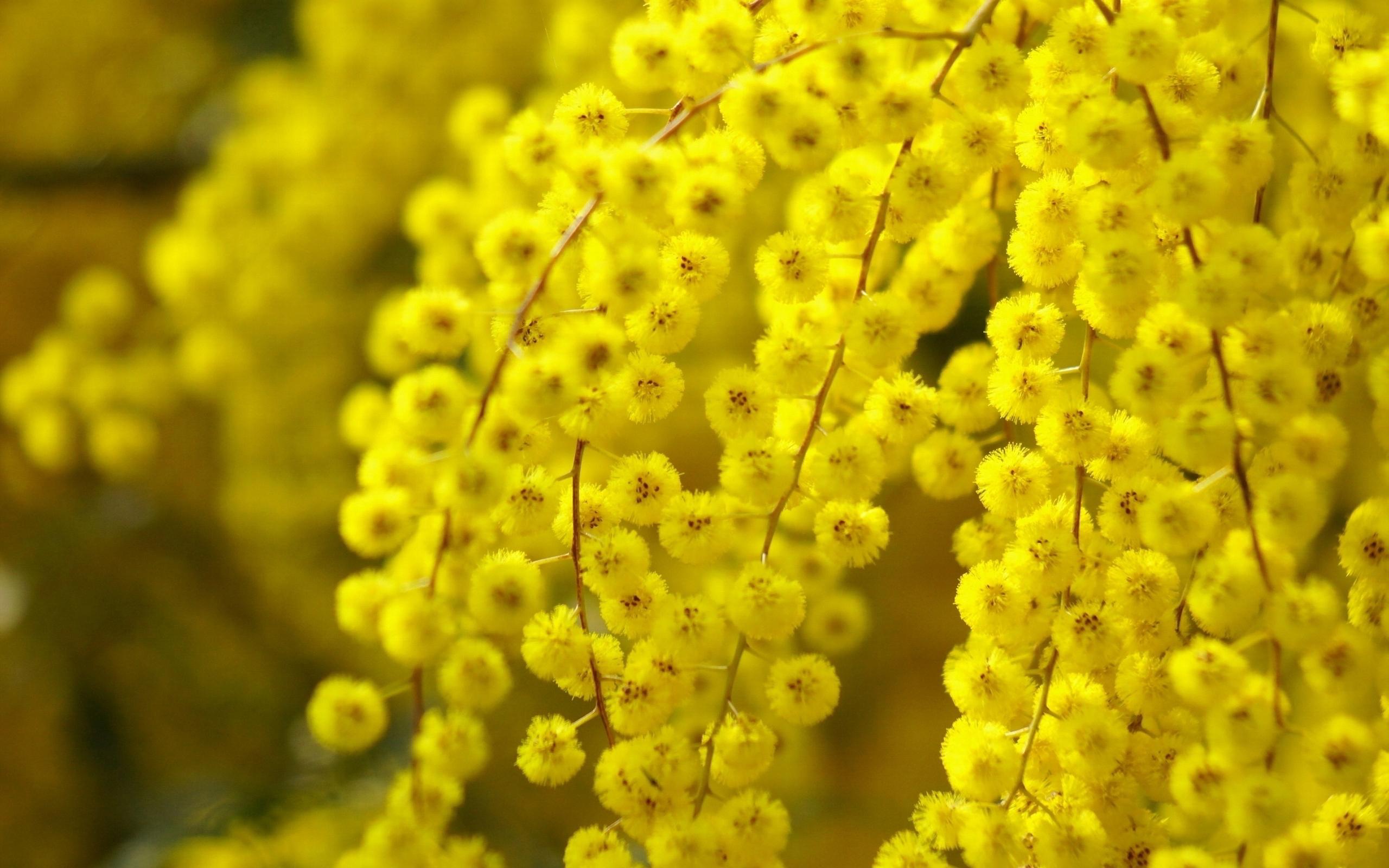 Acacia Flower Wallpaper