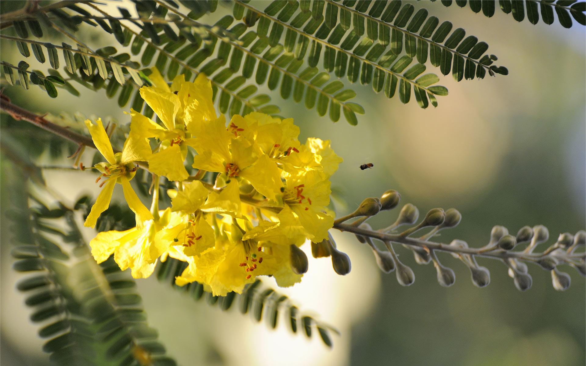Acacia Flowers Photo