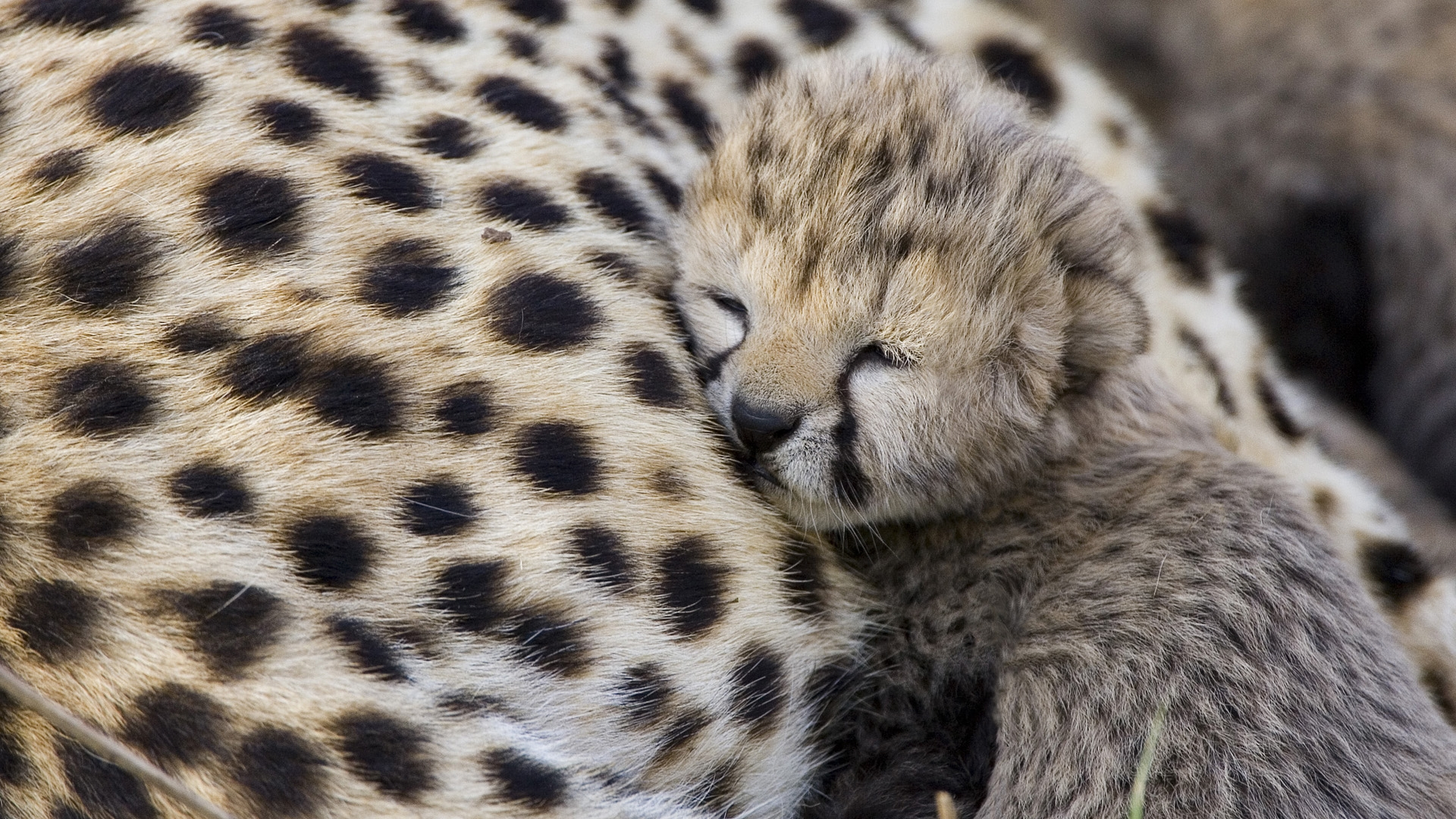 Adorable Baby Cheetah Wallpaper