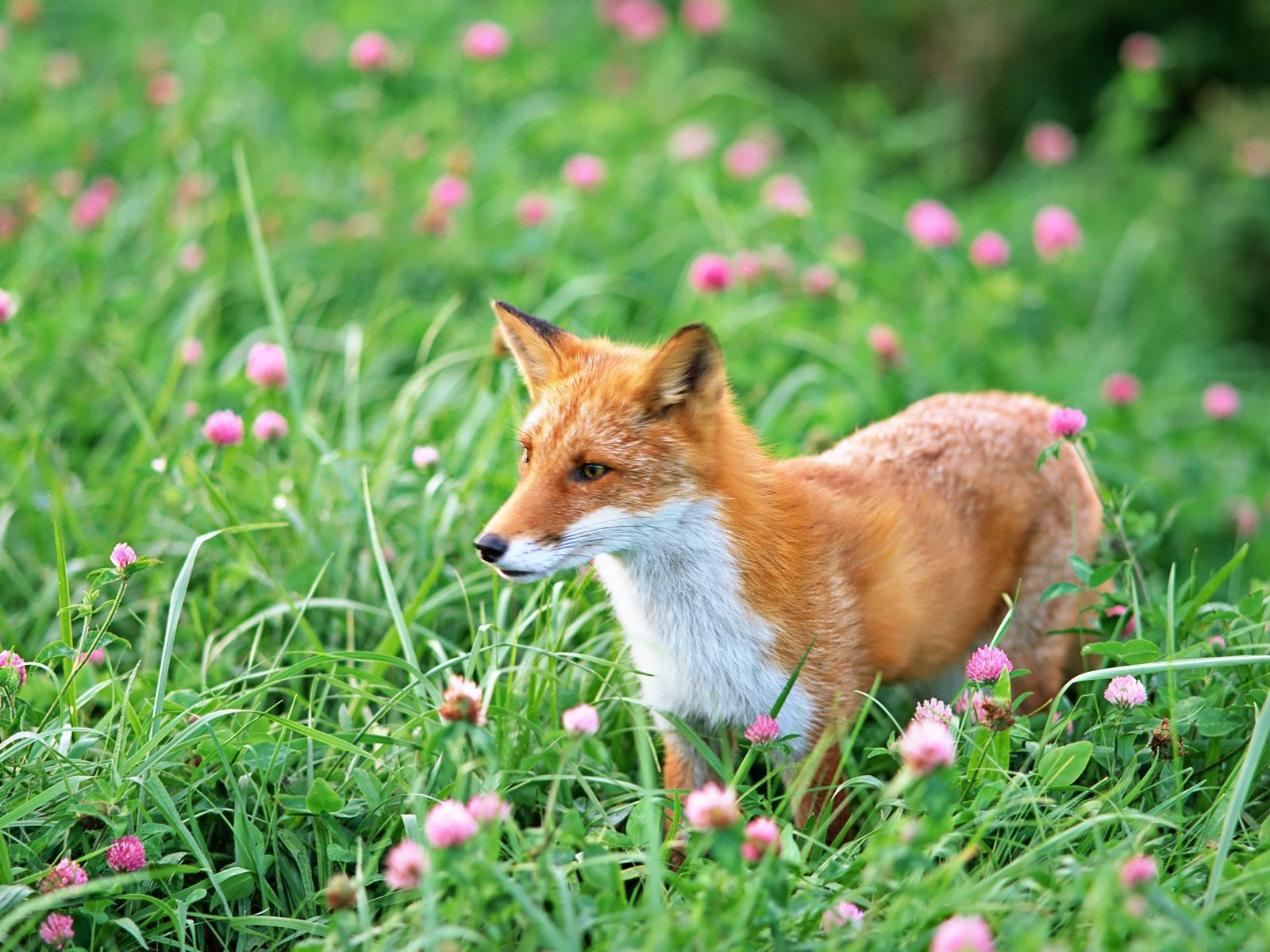 Adorable Baby Fox