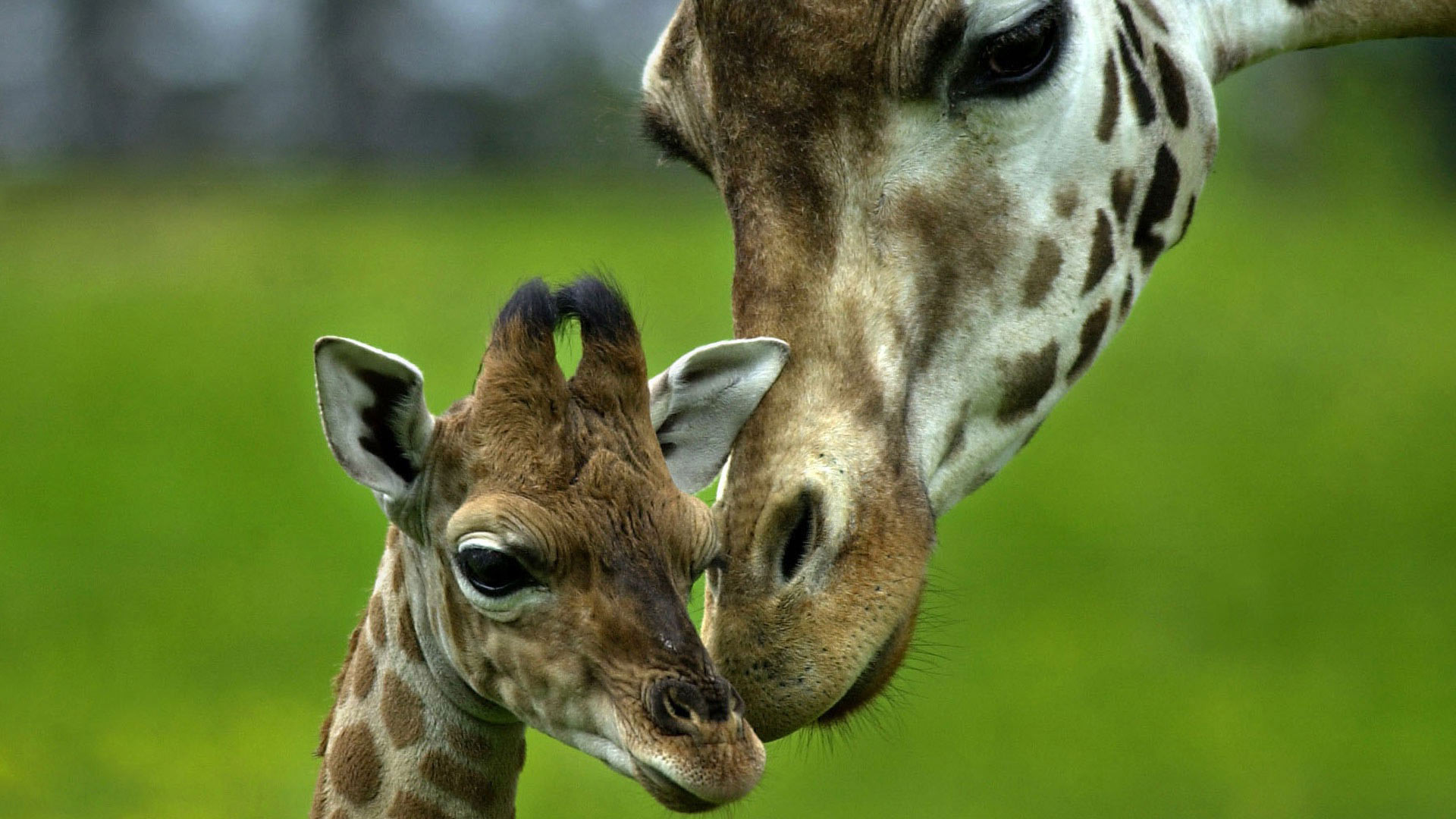 Adorable Baby Giraffe Photo