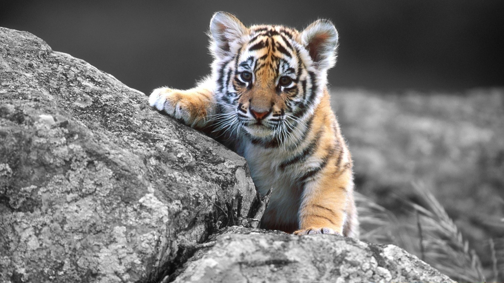Adorable Baby Tiger Wallpaper