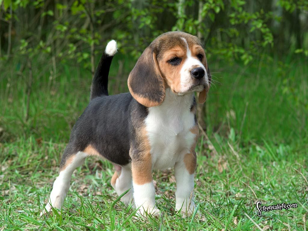 Beagle Picture Gallery