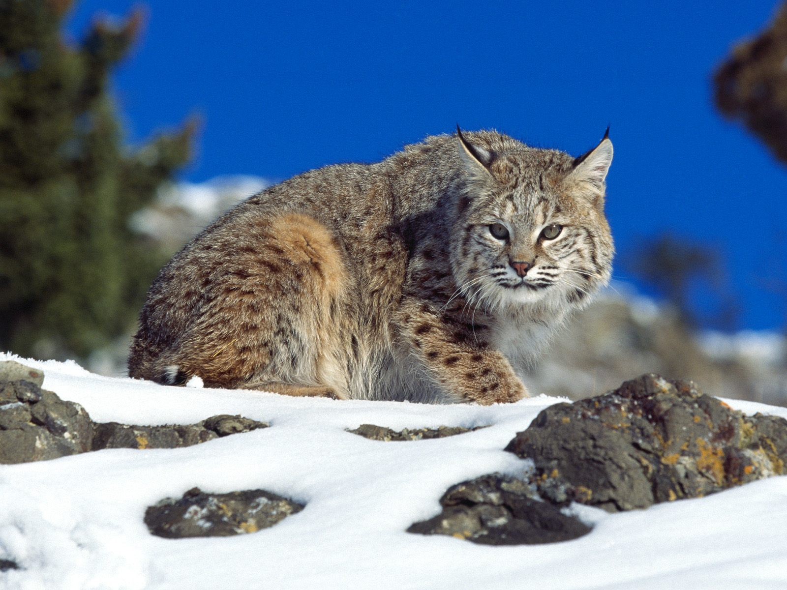 Adorable Bobcat Wallpaper