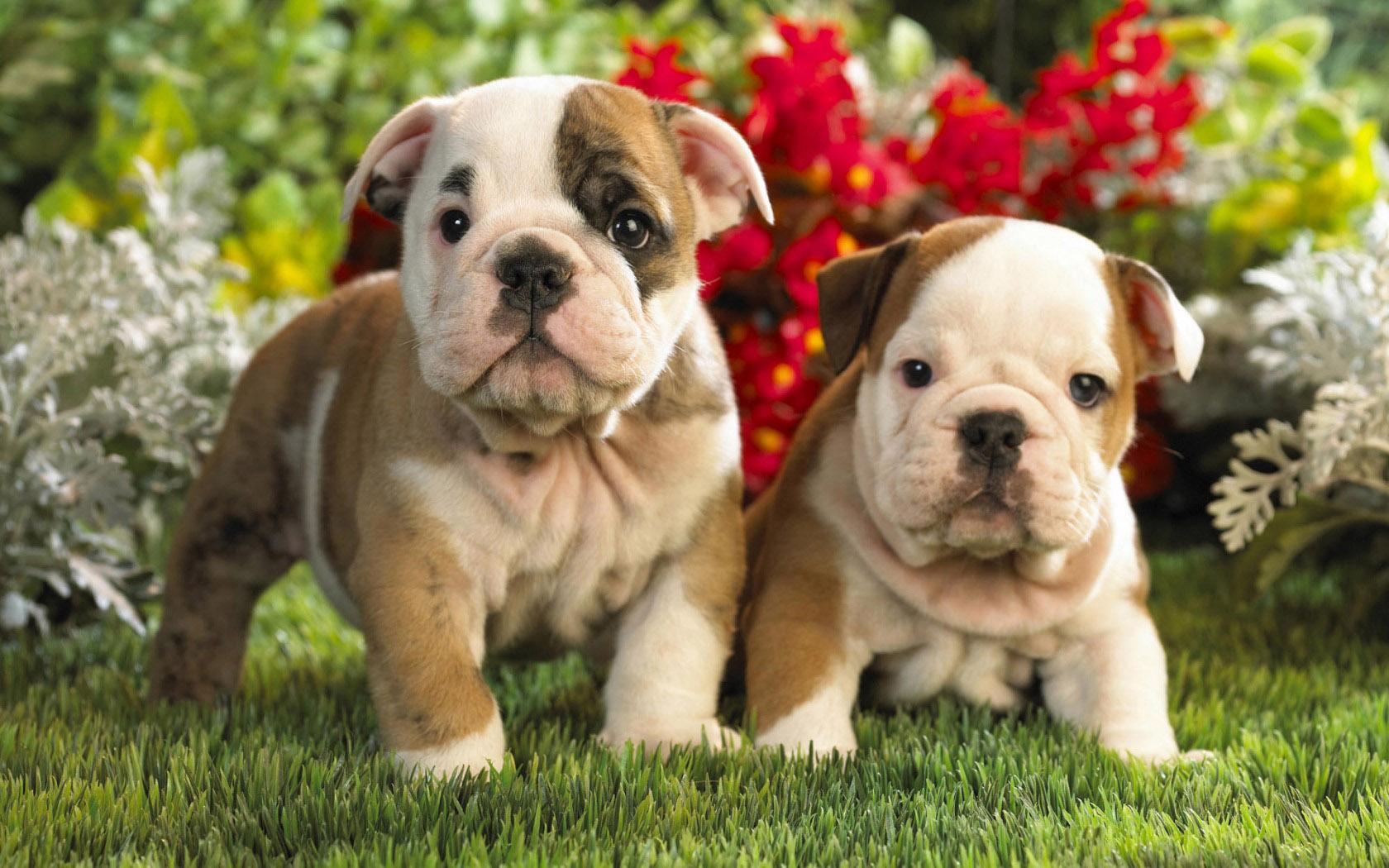 Adorable Bulldog Wallpaper