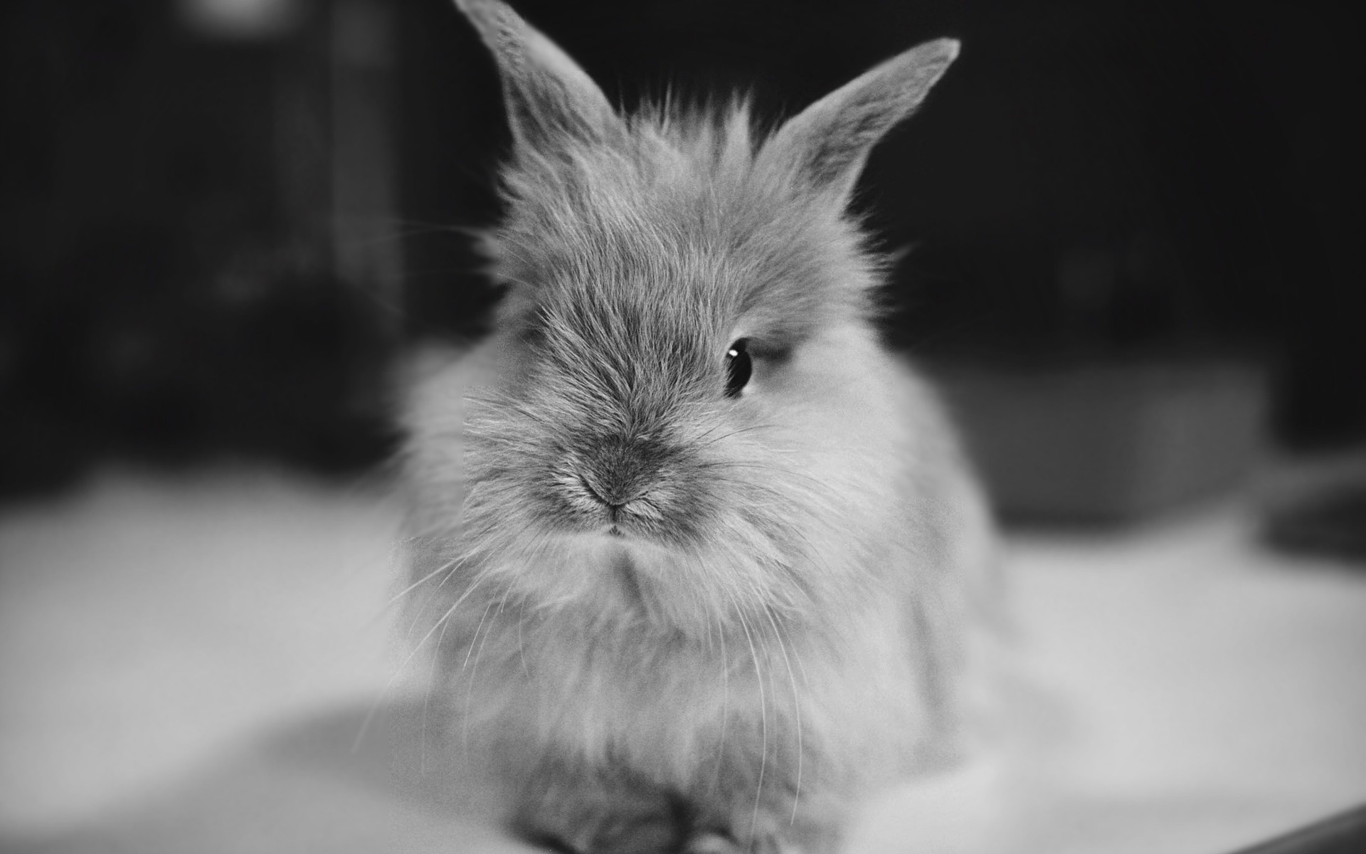 Cute bunny rodents beautiful black and white rabb 1920x1200