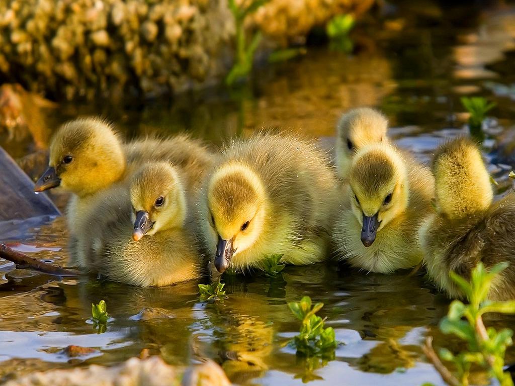 Adorable Duckling Wallpaper