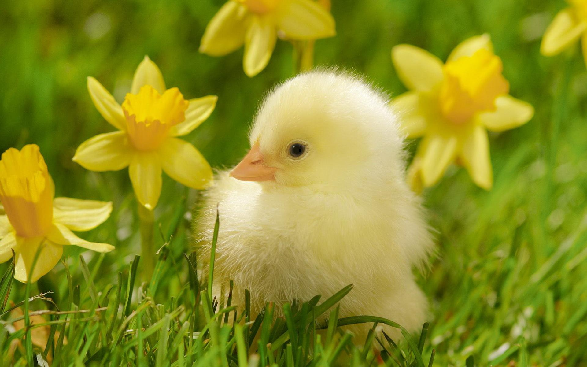 Adorable Duckling Wallpaper