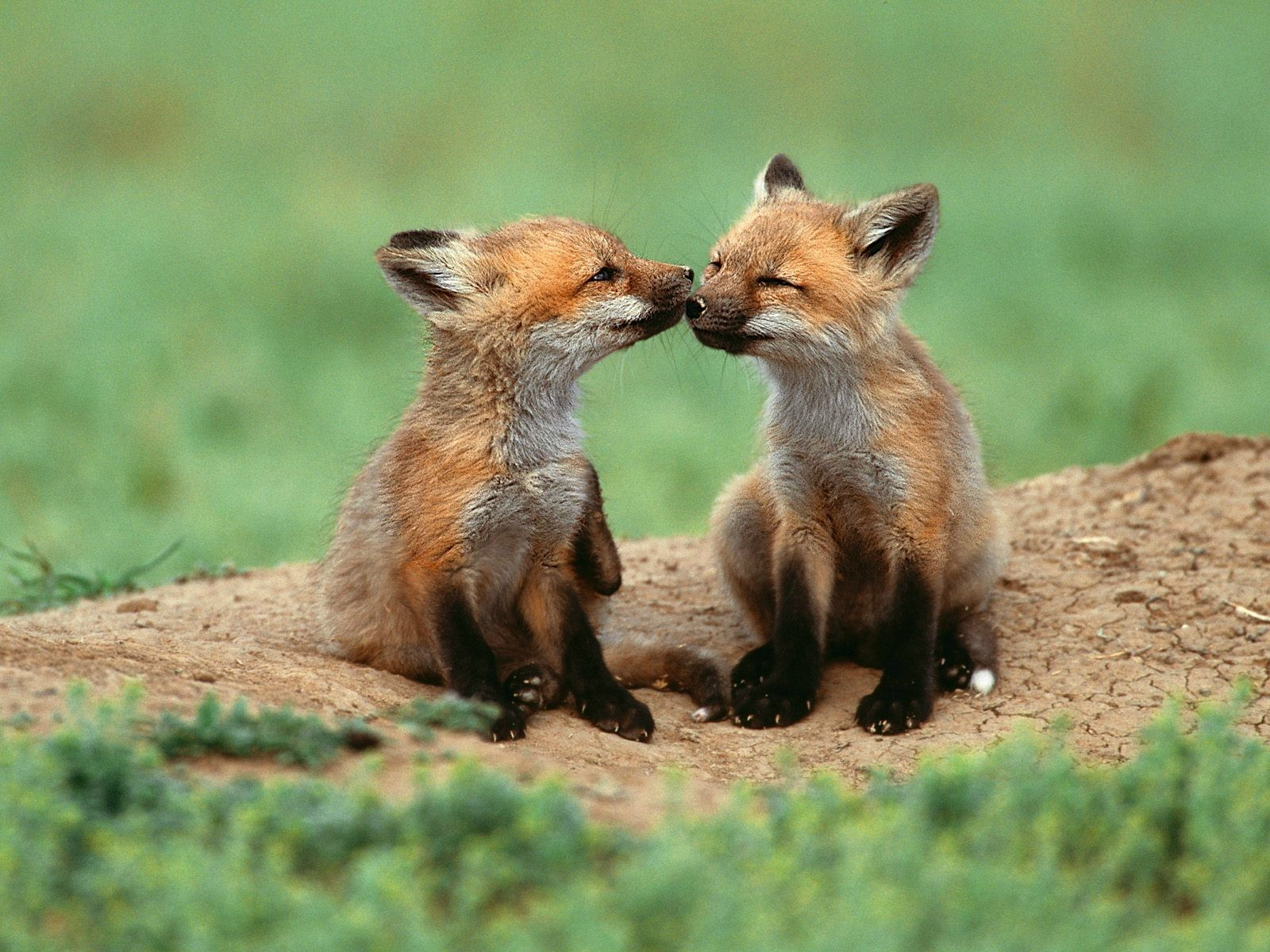Just some adorable fox PDA.