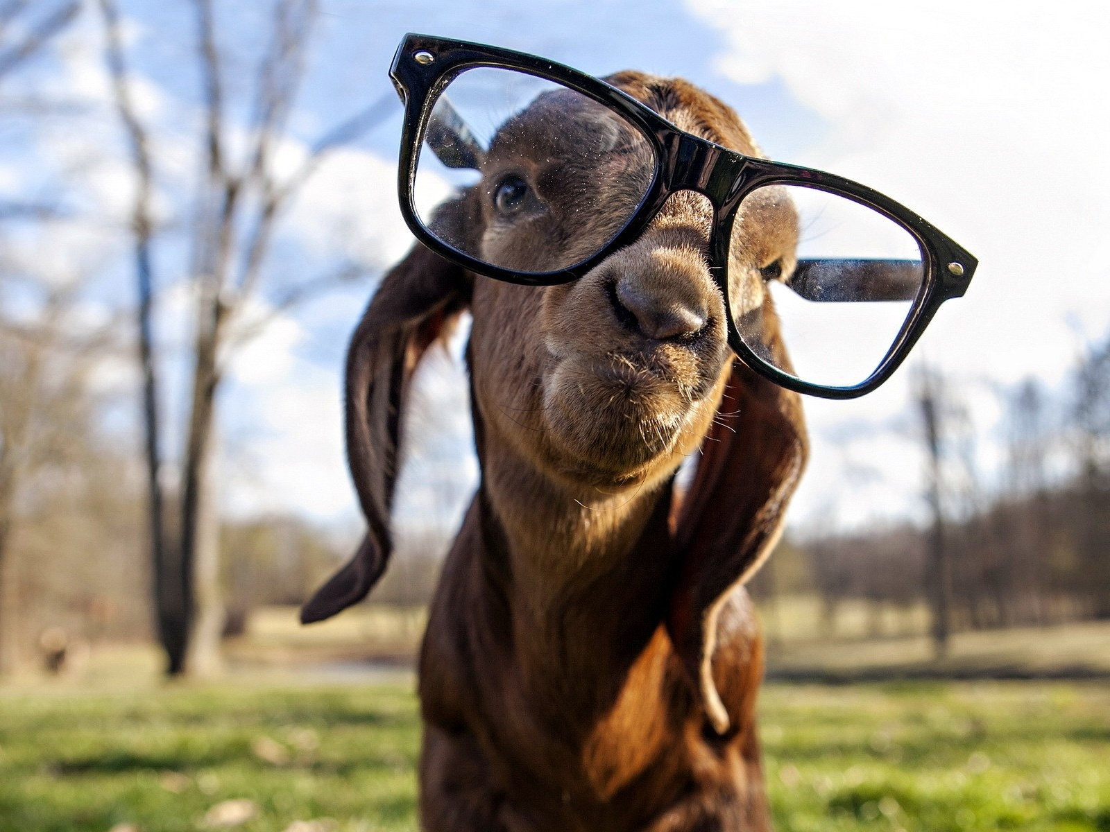 Adorable Goat Wallpaper; Goat ...