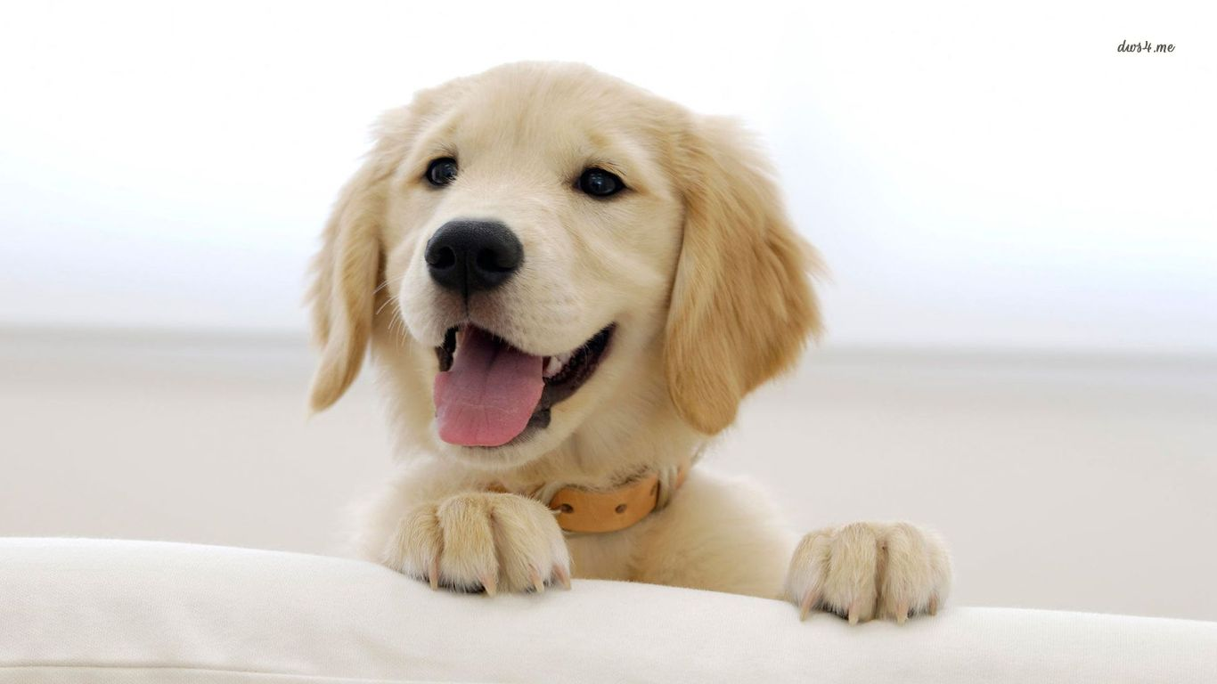 Adorable Golden Retriever Wallpaper