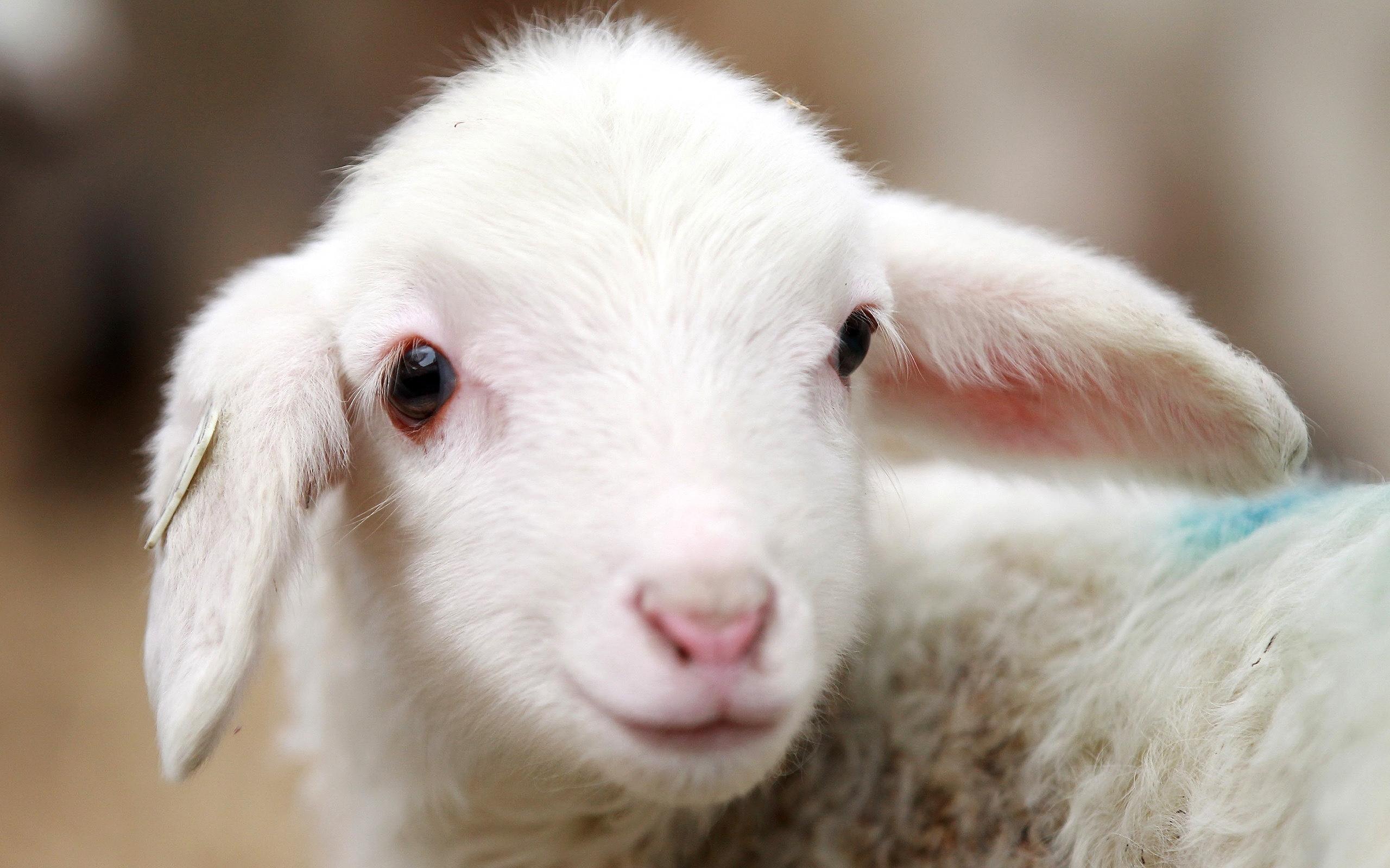 Adorable Lamb Wallpaper