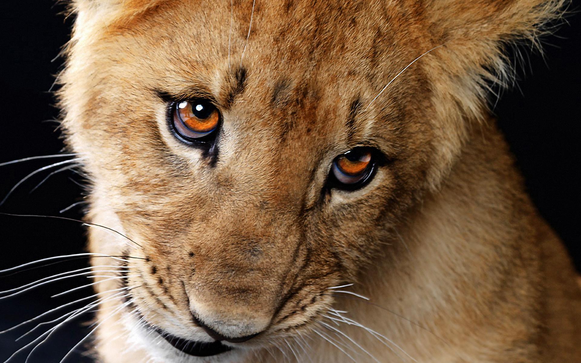 Adorable Lion Wallpaper
