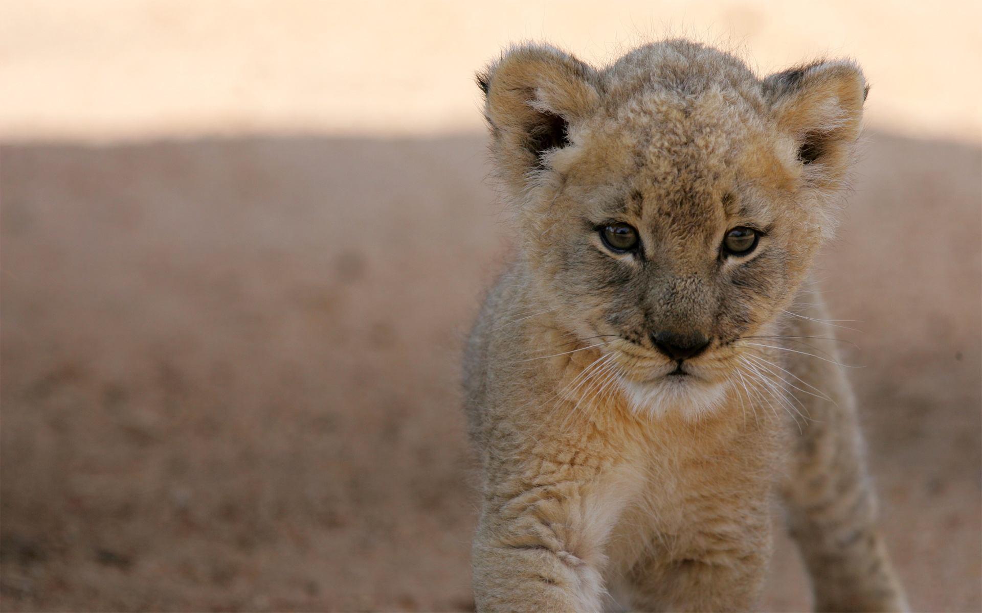 Adorable Lioness Wallpaper