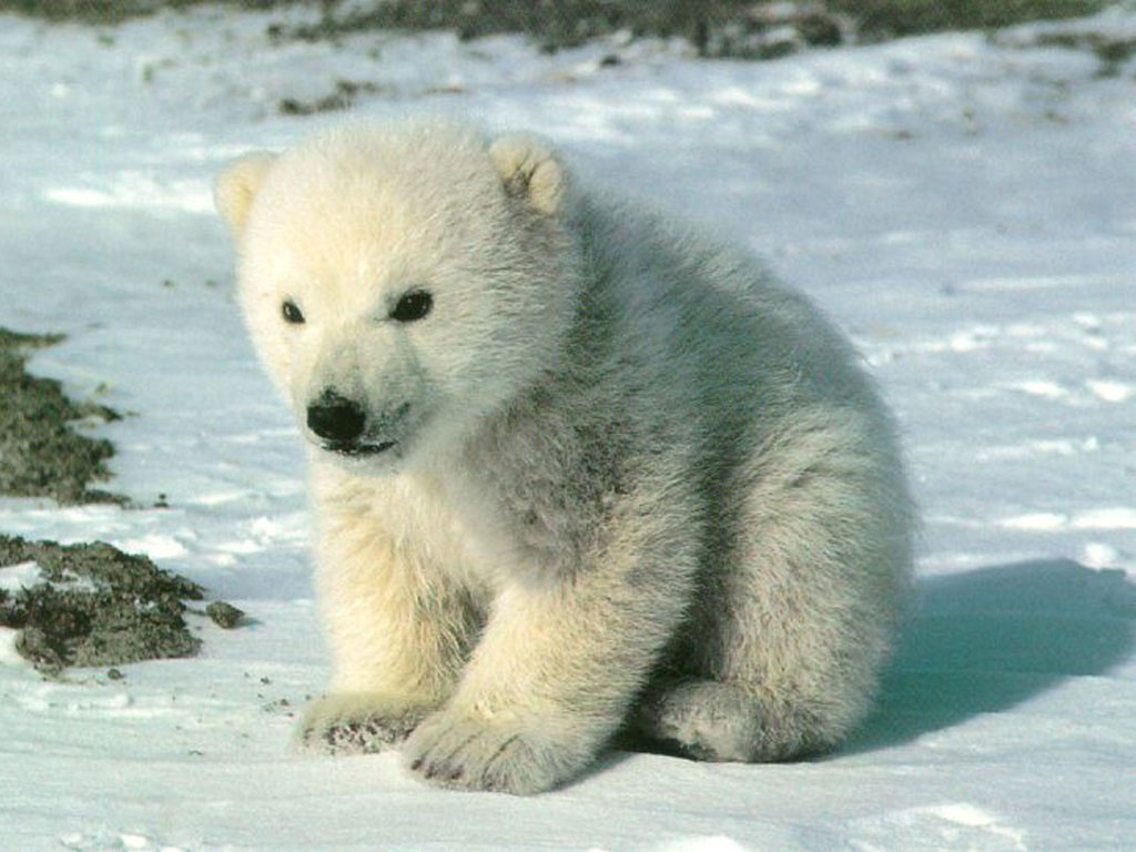 Animal Cubs Cute polar bear cub