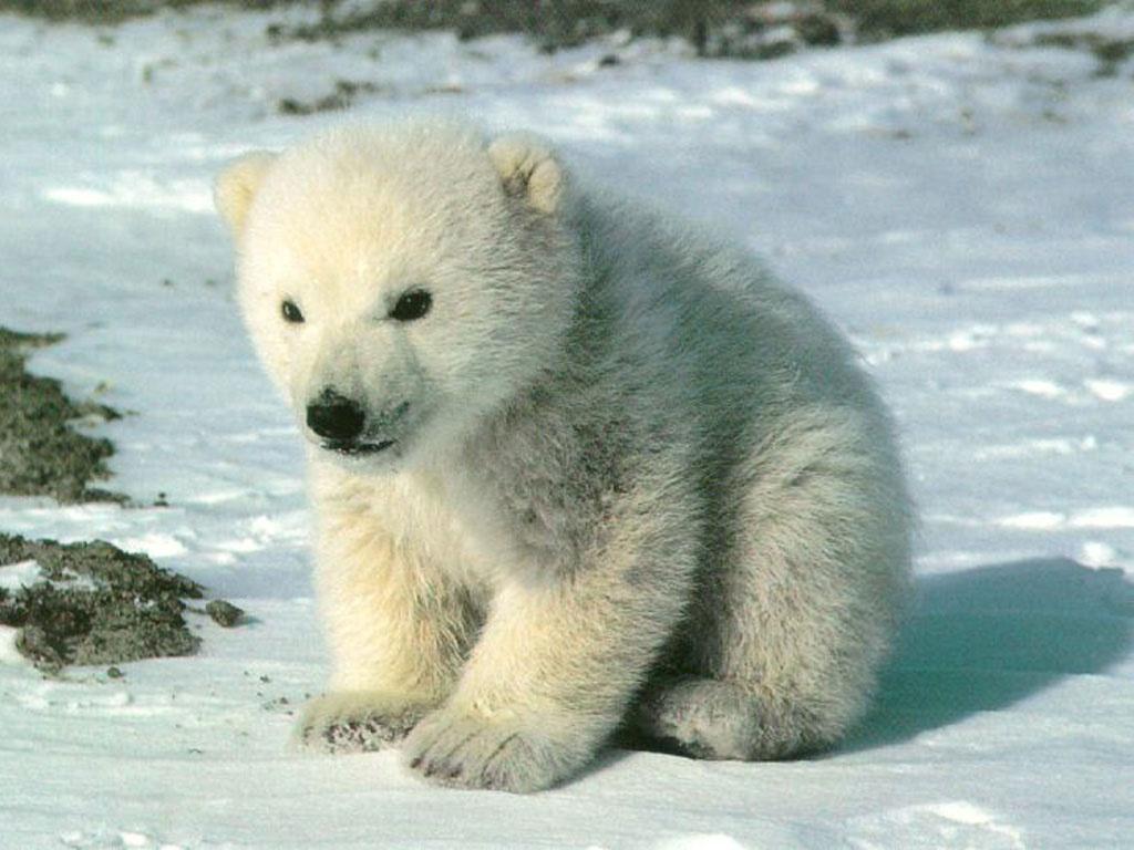 Animal Cubs Cute polar bear cub