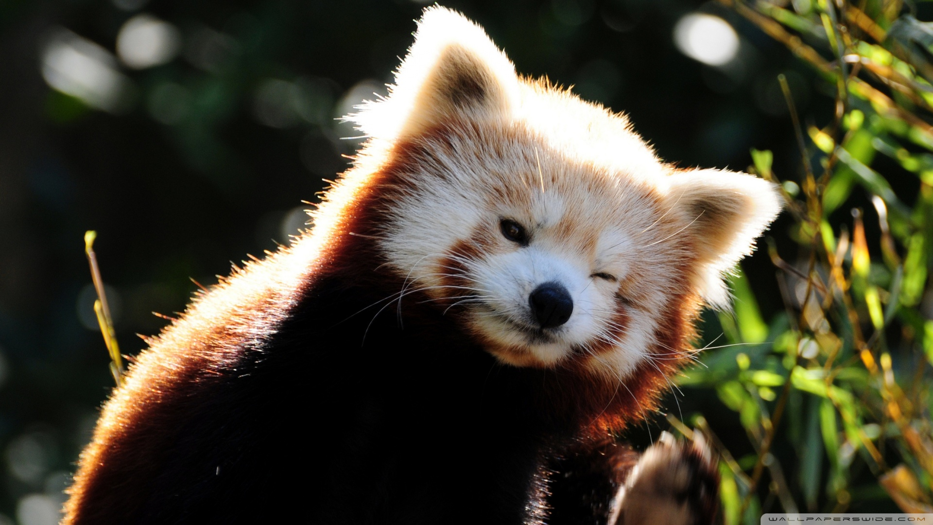 Adorable Red Panda Wallpaper
