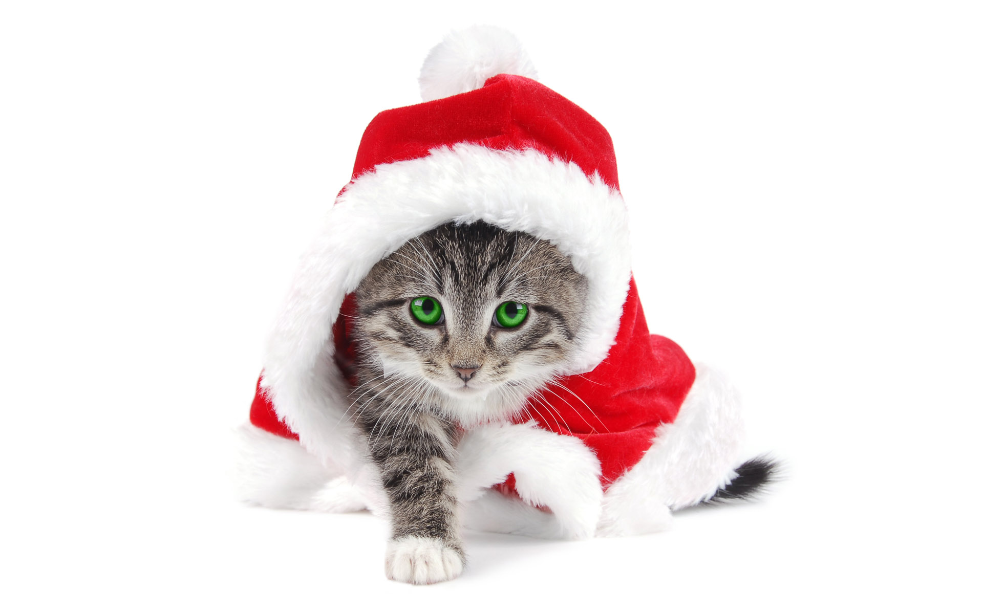 Adorable Hd Wallpapers: Animals Adorable Cat Wearing Santa Hat Free Desktop Wallpapers 1920x1200px