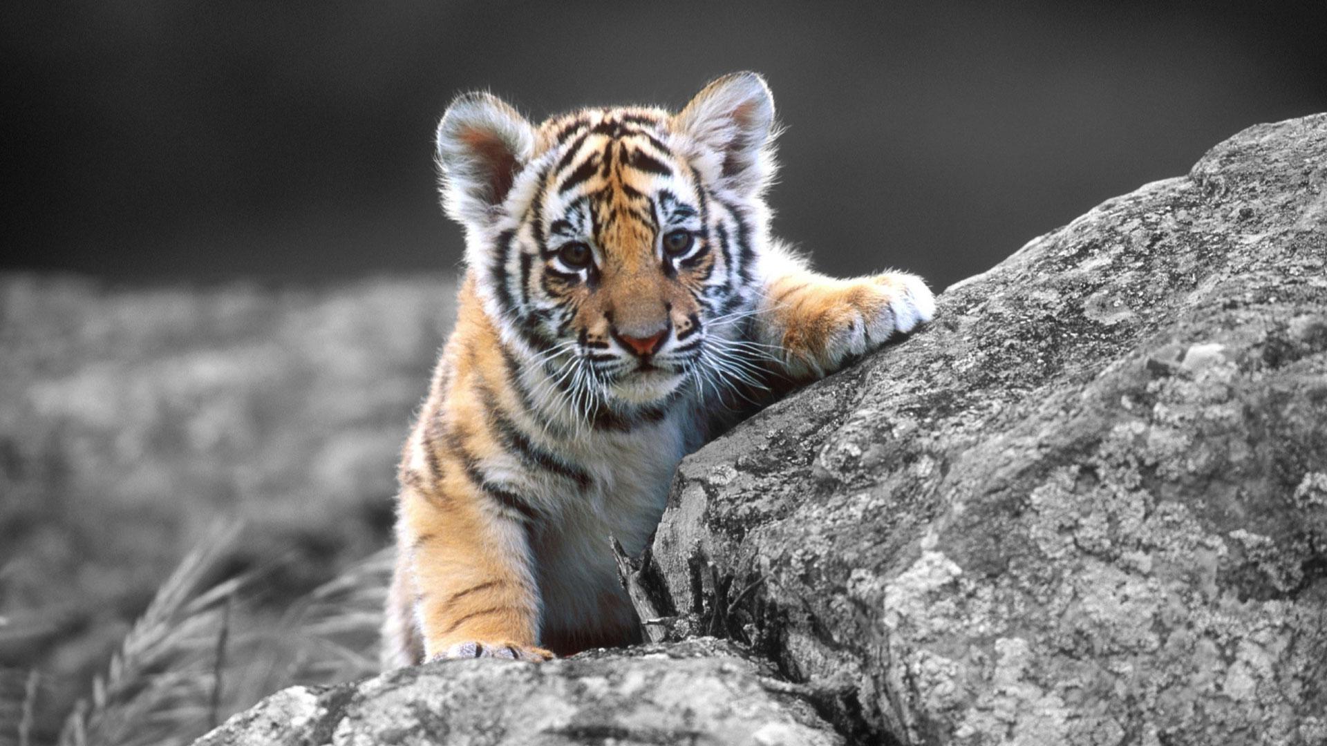 Adorable Tiger Wallpaper