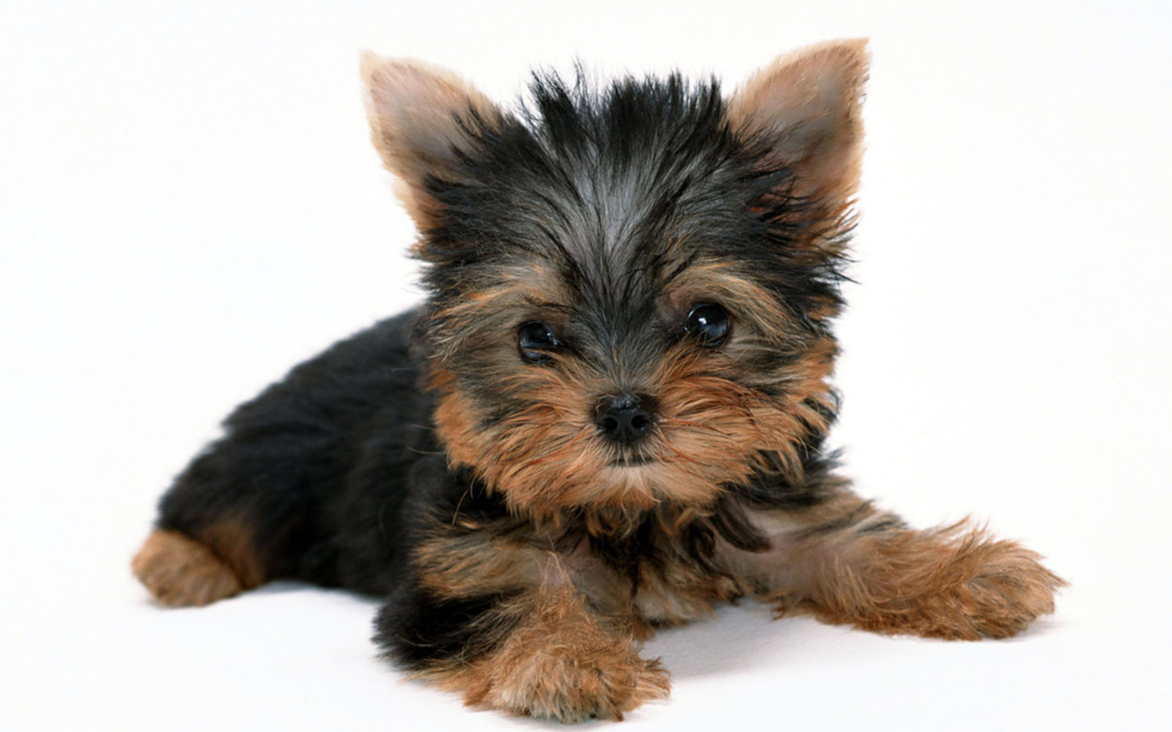 Adorable Yorkie Wallpaper
