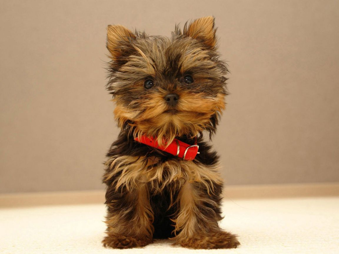 Adorable Yorkie Puppies Dogs Wallpaper Desktop