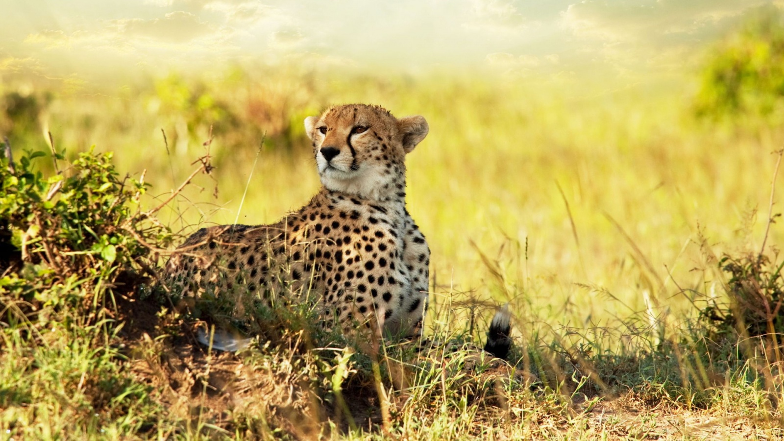 Africa Cheetah Wallpaper