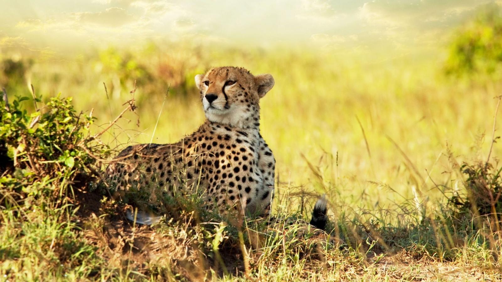 Africa Cheetah Wallpaper