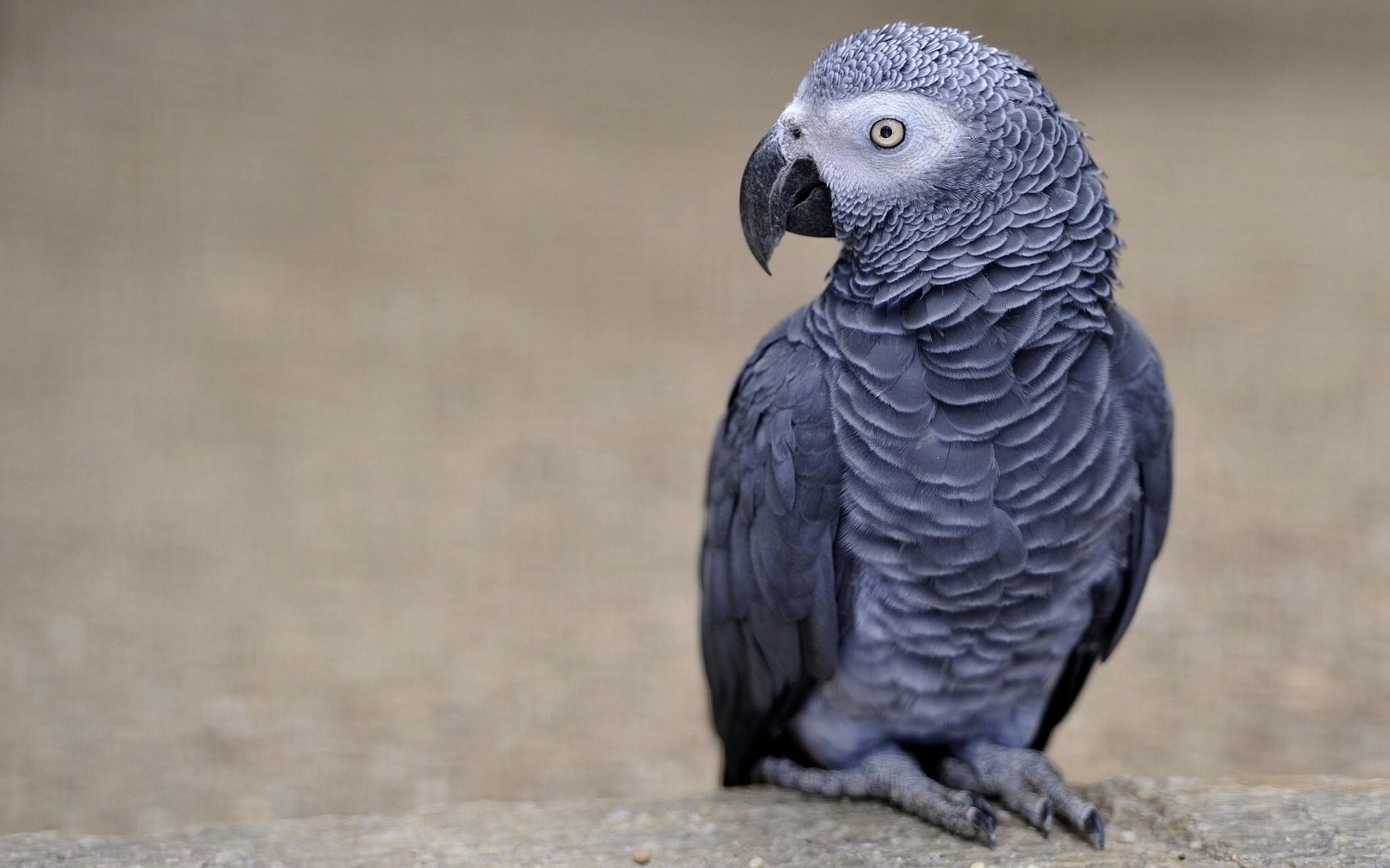 African Grey Parrot Bird