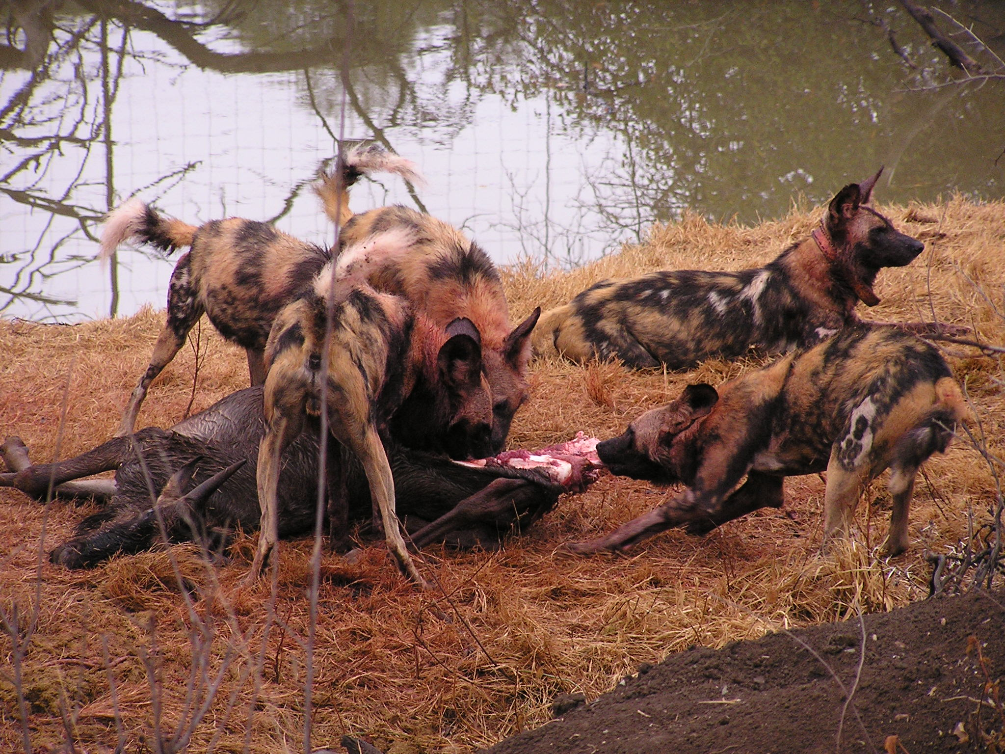 L. p. pictus pack consuming a blue wildebeest, Madikwe Game Reserve, South Africa.