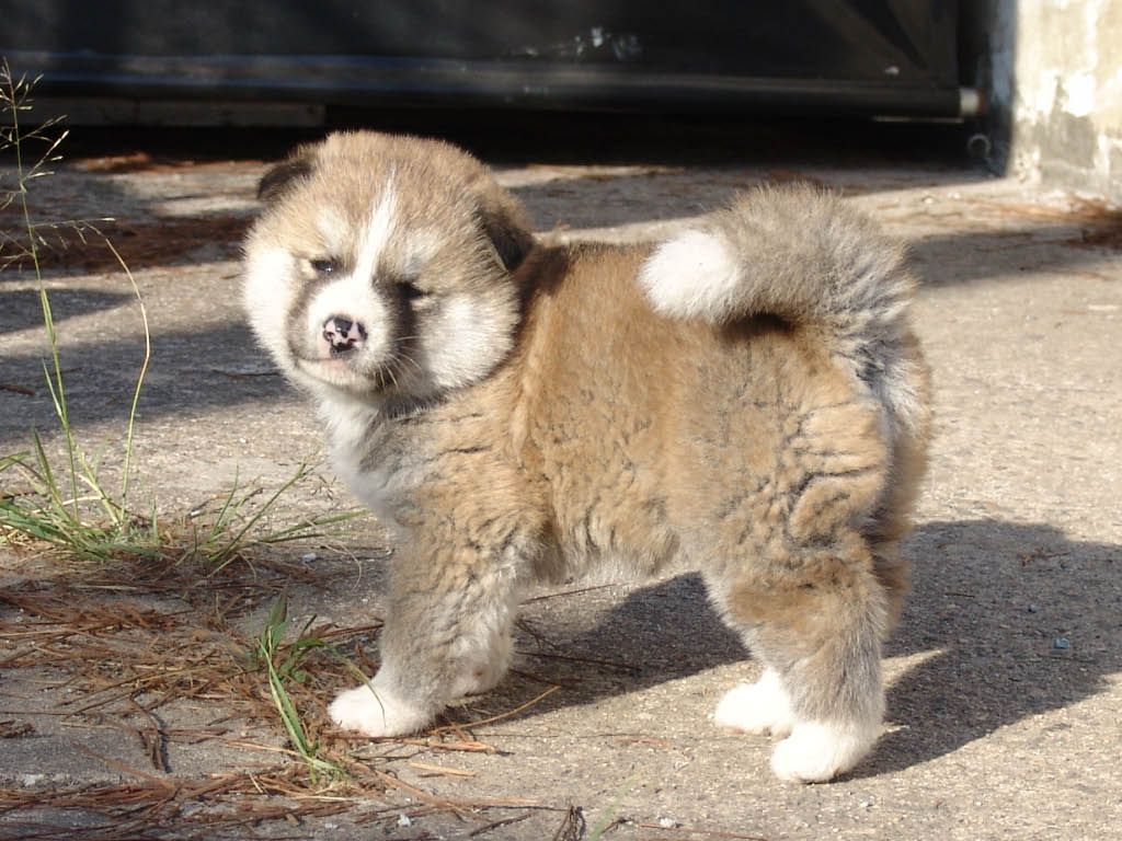 Akita Inu Puppy
