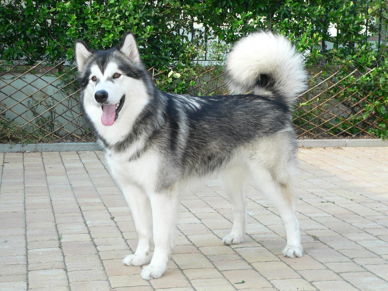 Alaskan-Malamute-dog