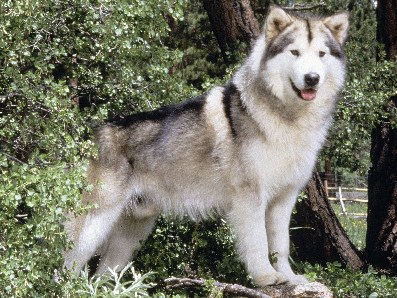 Alaskan Malamute pet background dog
