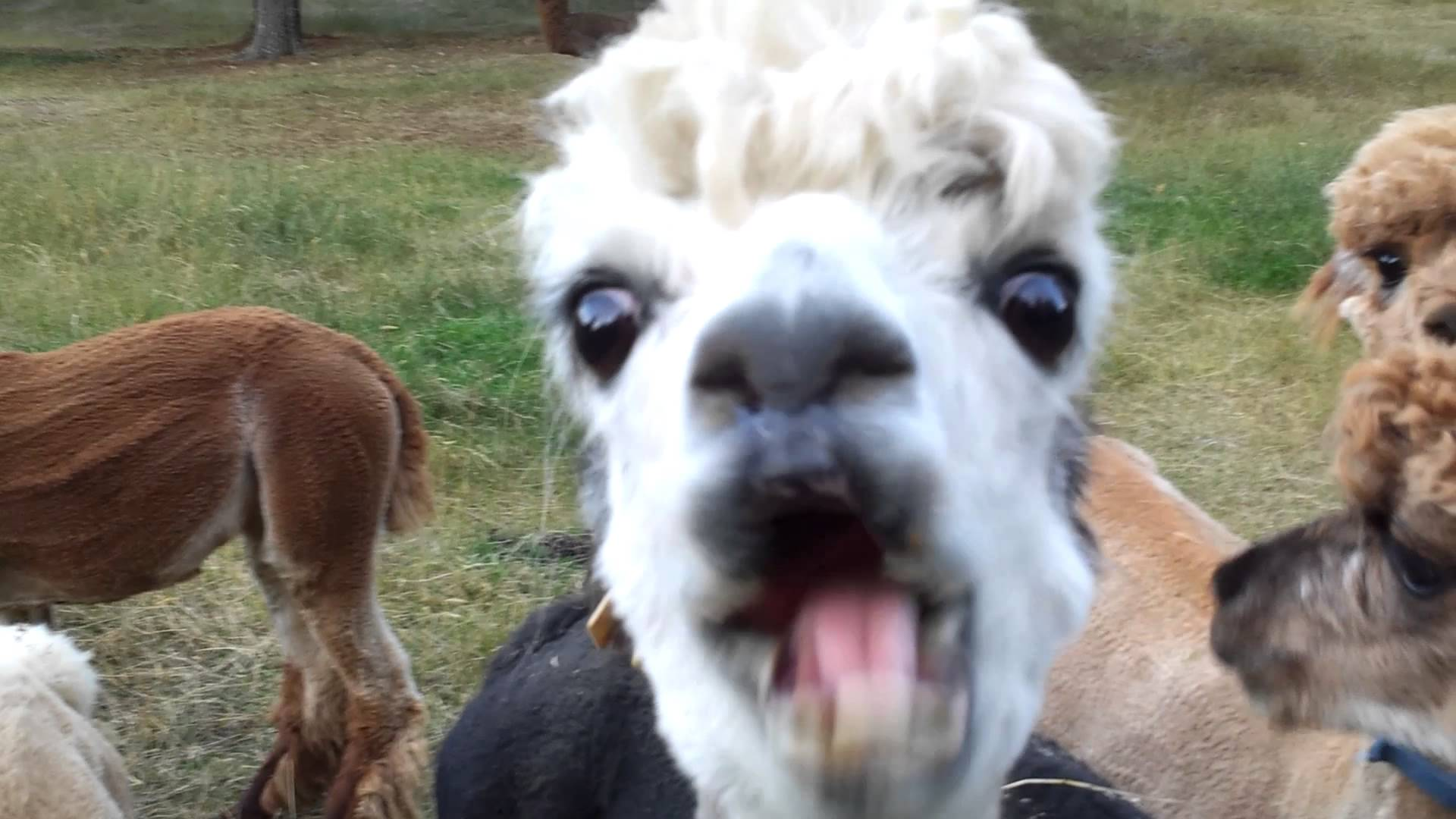 Alpacas trying to eat apples.