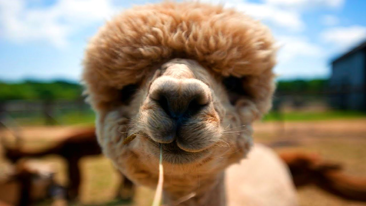 10 Funniest Alpaca Videos