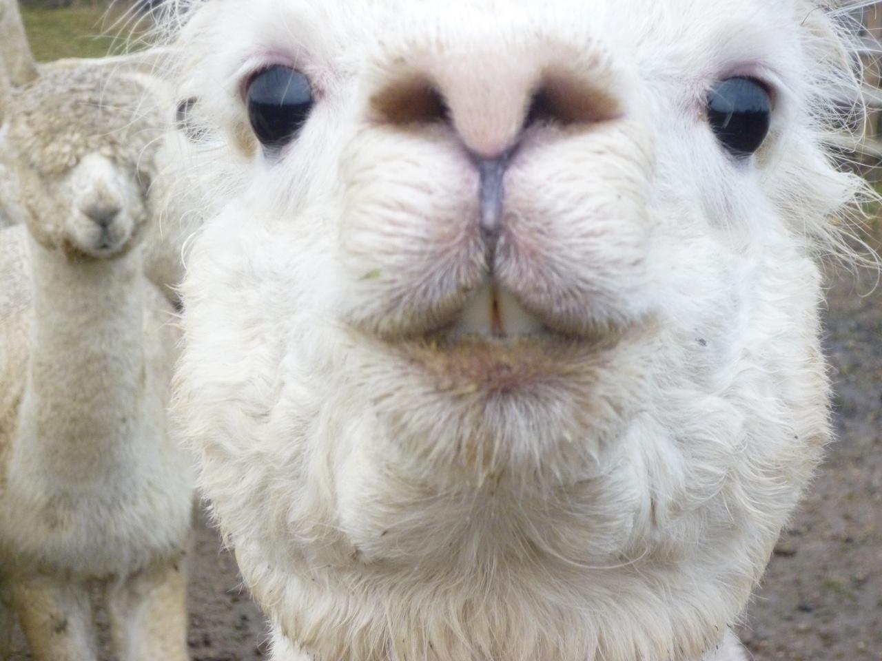 Funny Alpaca 2012_2