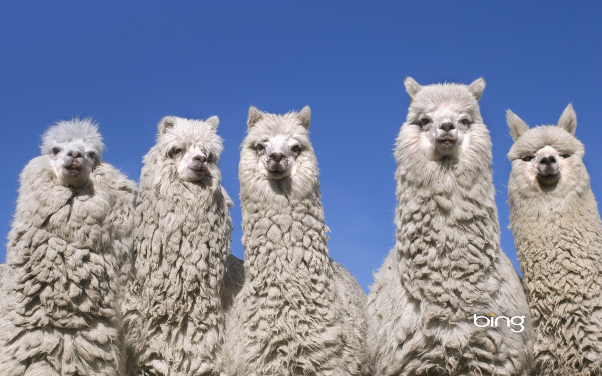 HD Wallpaper | Background ID:458203. 1920x1200 Animal Alpaca