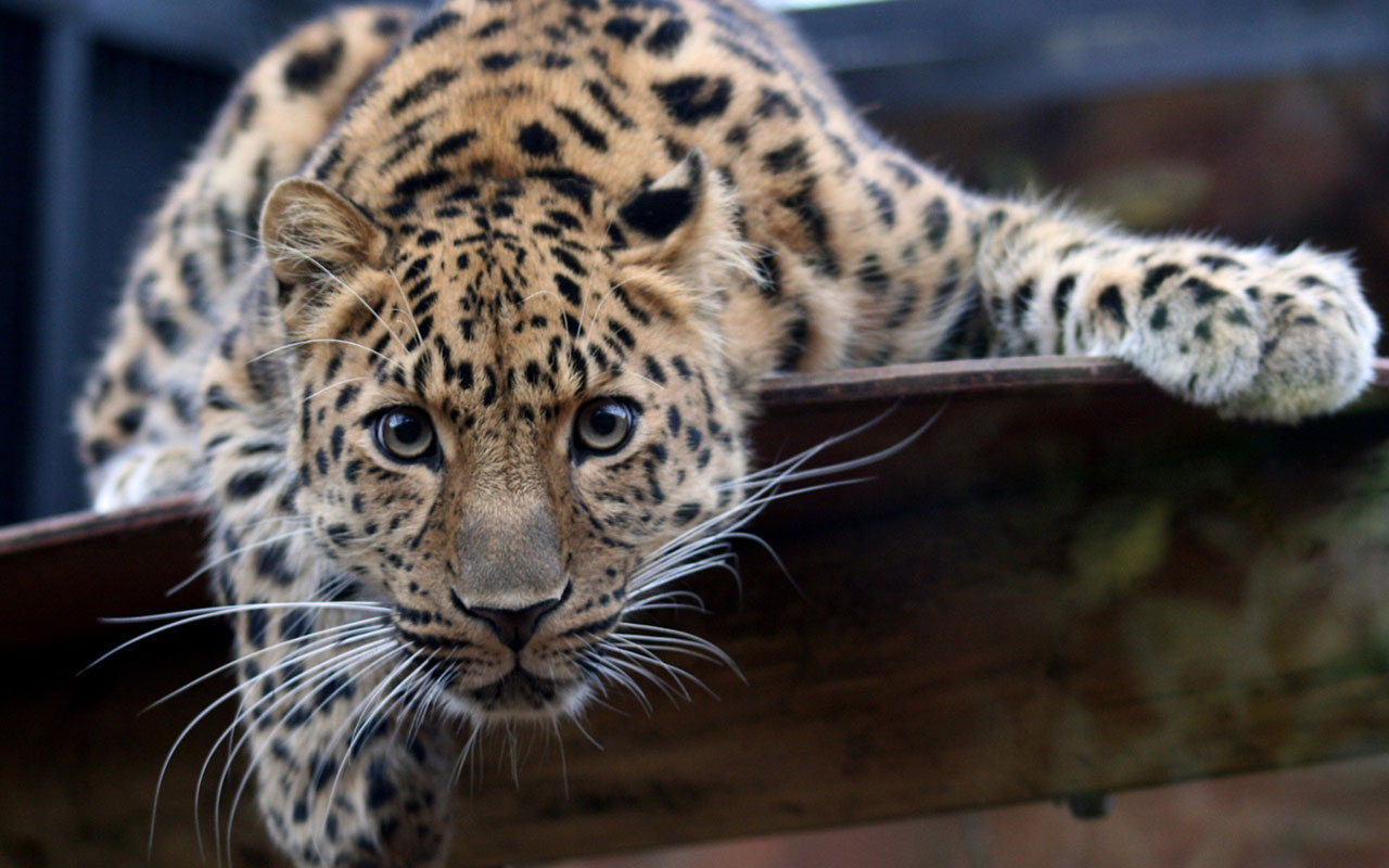 Amazing Amur Leopard Wallpaper