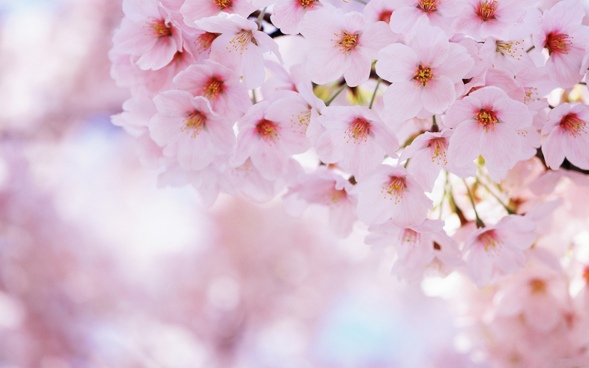 Amazing Blossom Wallpaper