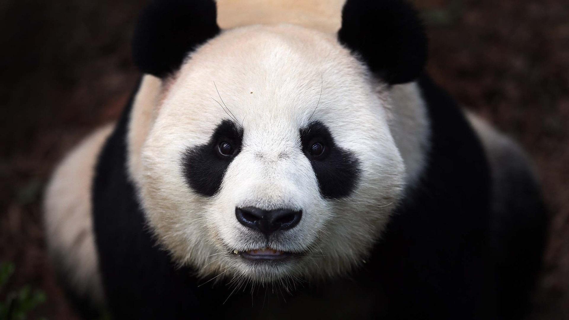 Amazing Panda Wallpaper