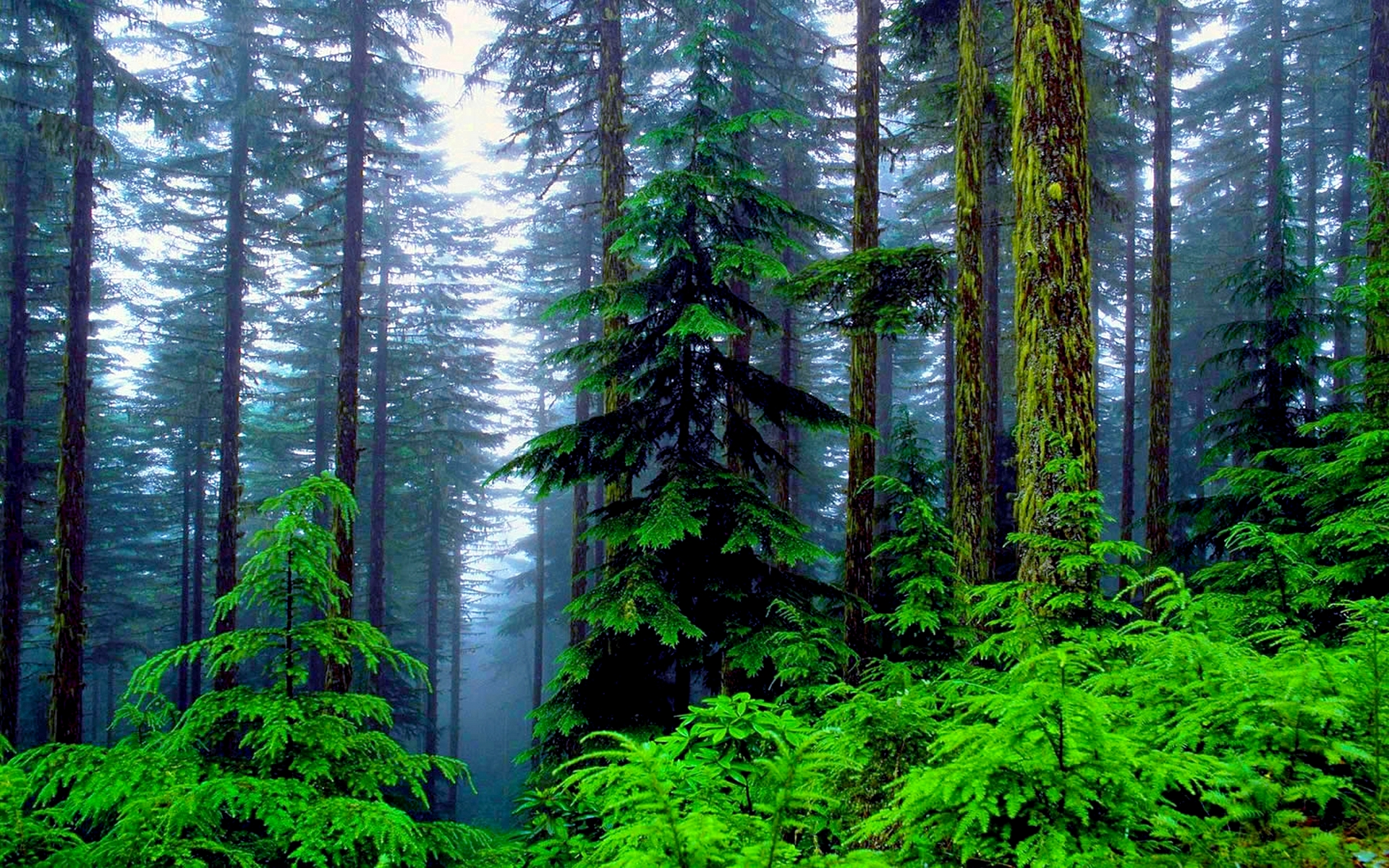 ... Pine Forest Wallpaper HD
