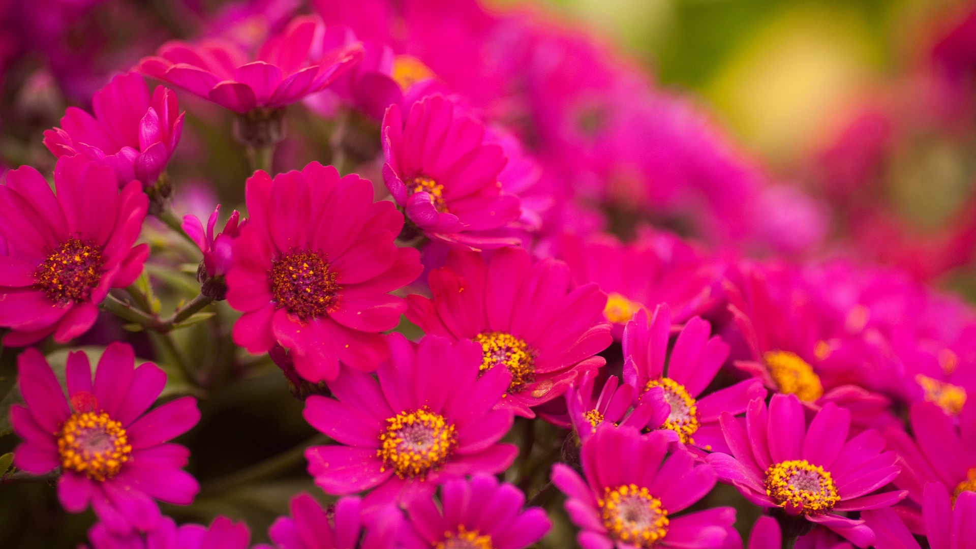 Pink Flowers. Amazing Pink Flowers Wallpaper