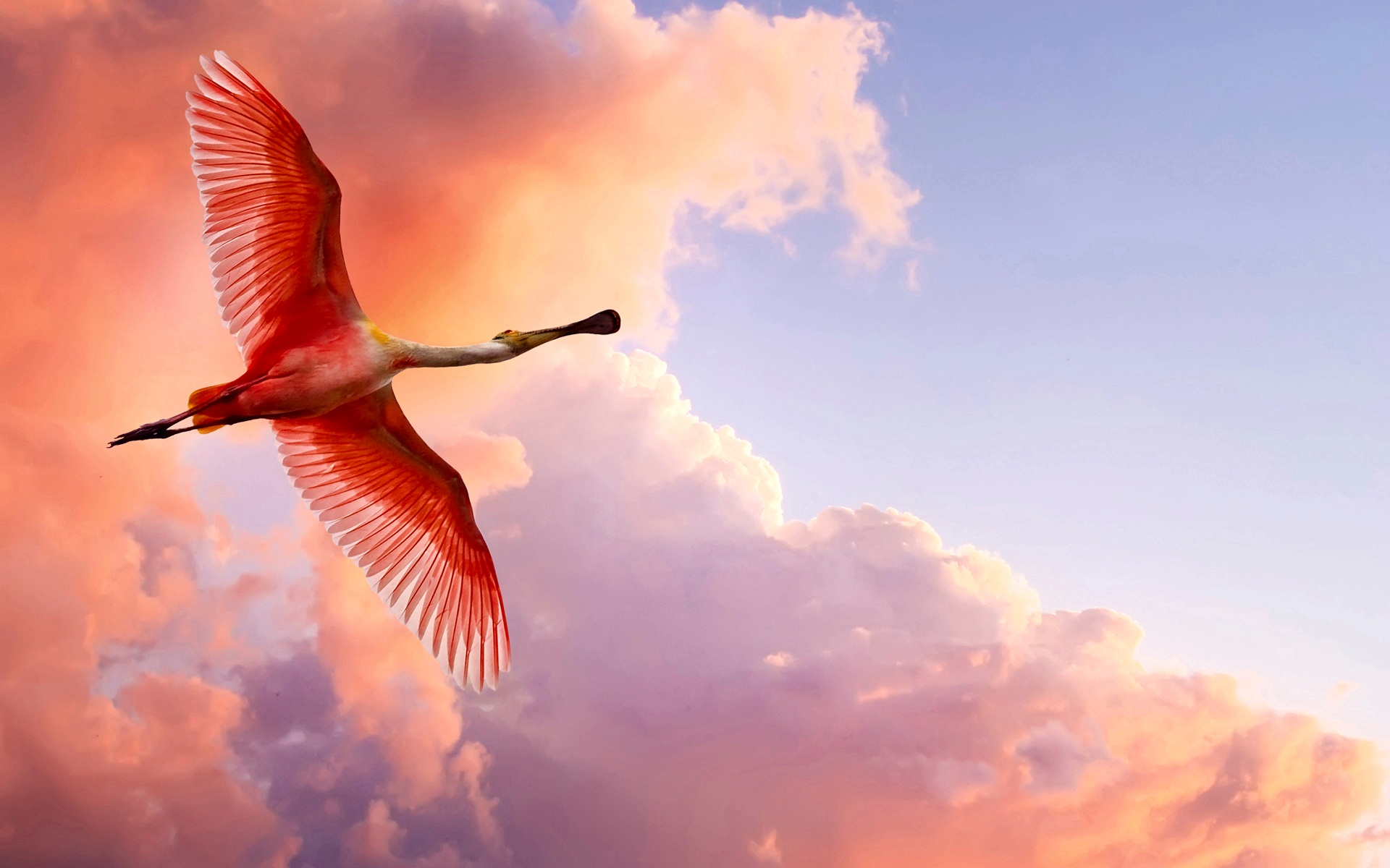 Amazing Roseate Spoonbill Wallpaper