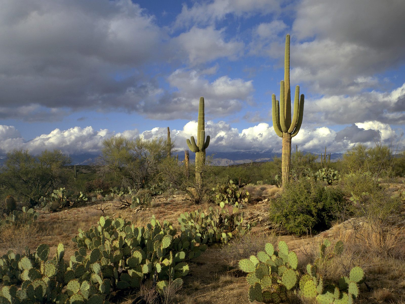 Free Saguaro Wallpaper