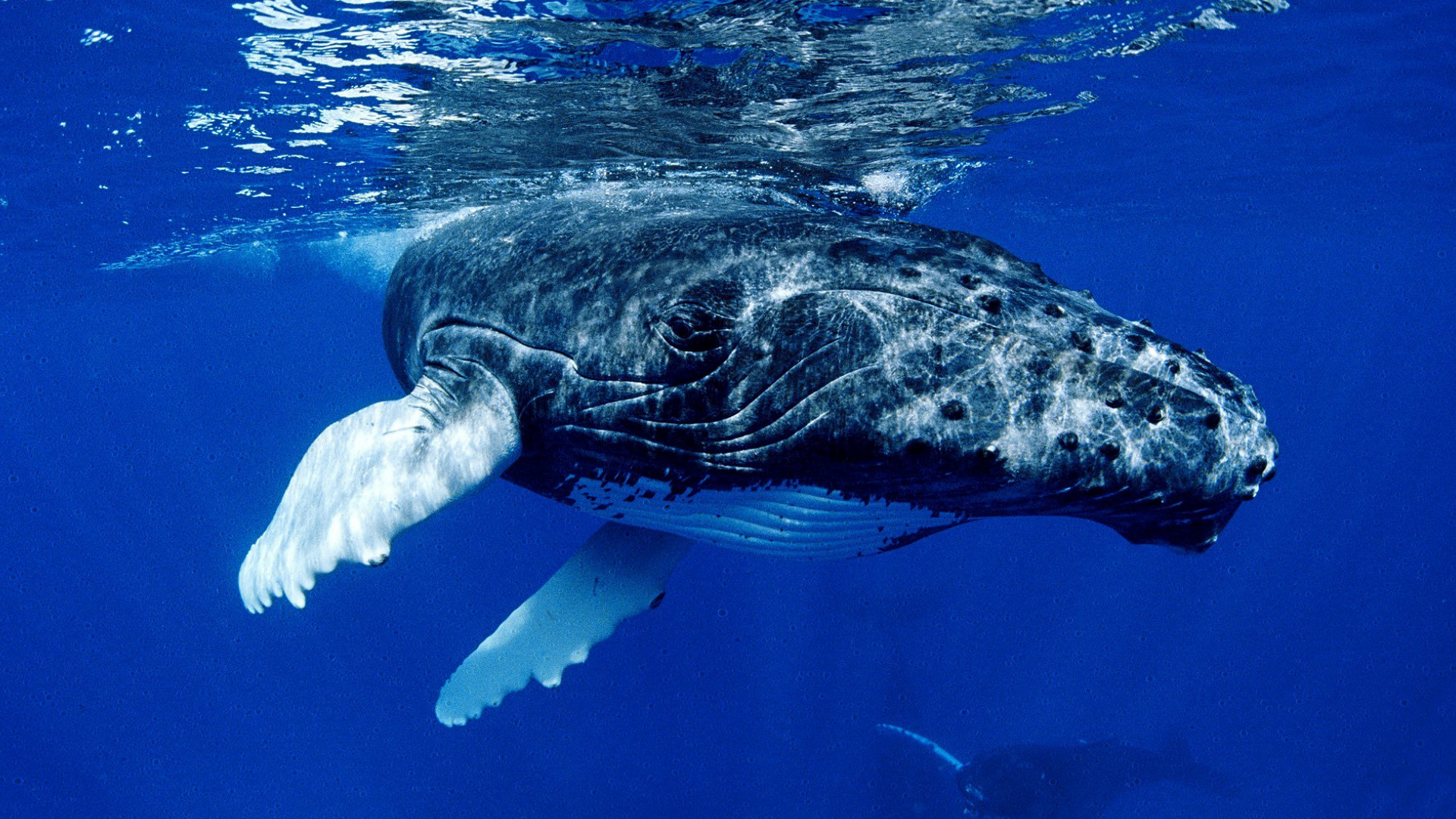 Amazing Whale Wallpaper