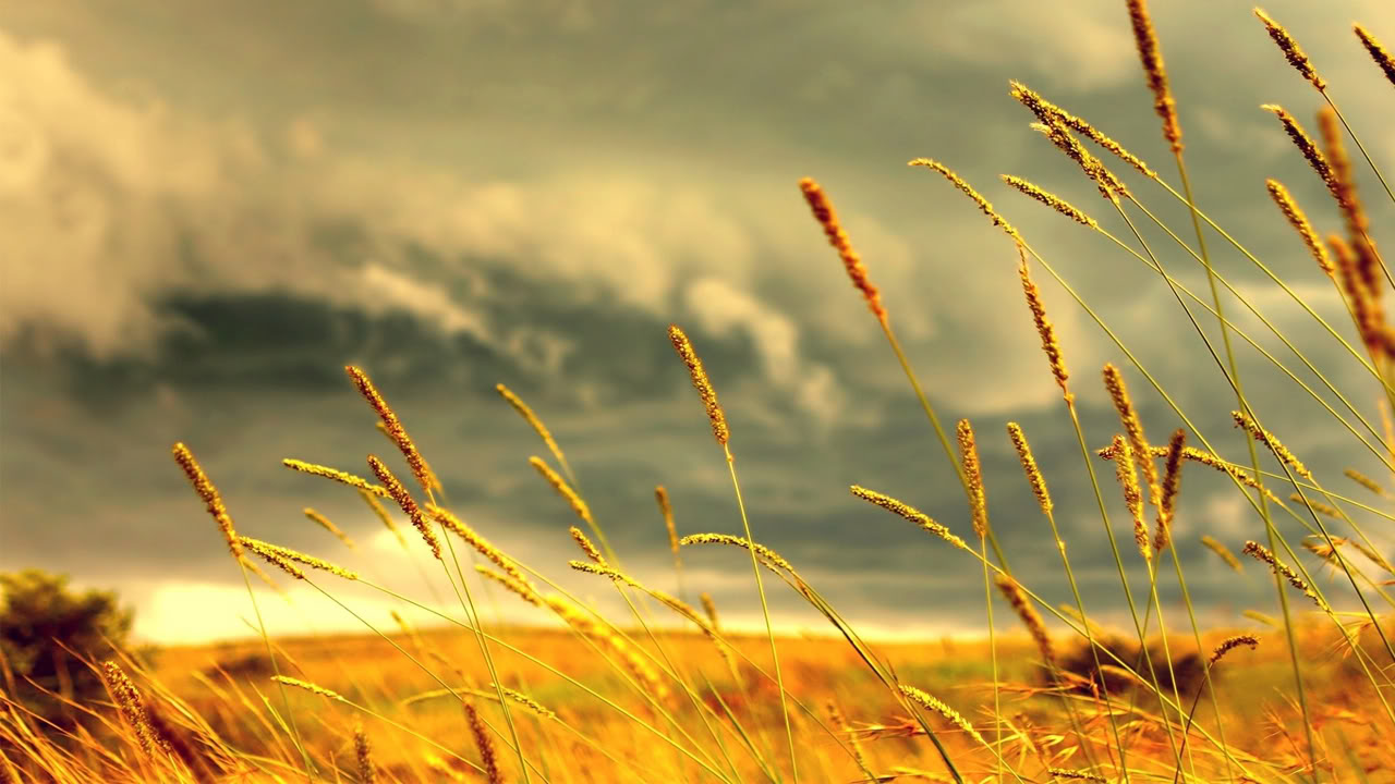 HD Wheat Wallpaper