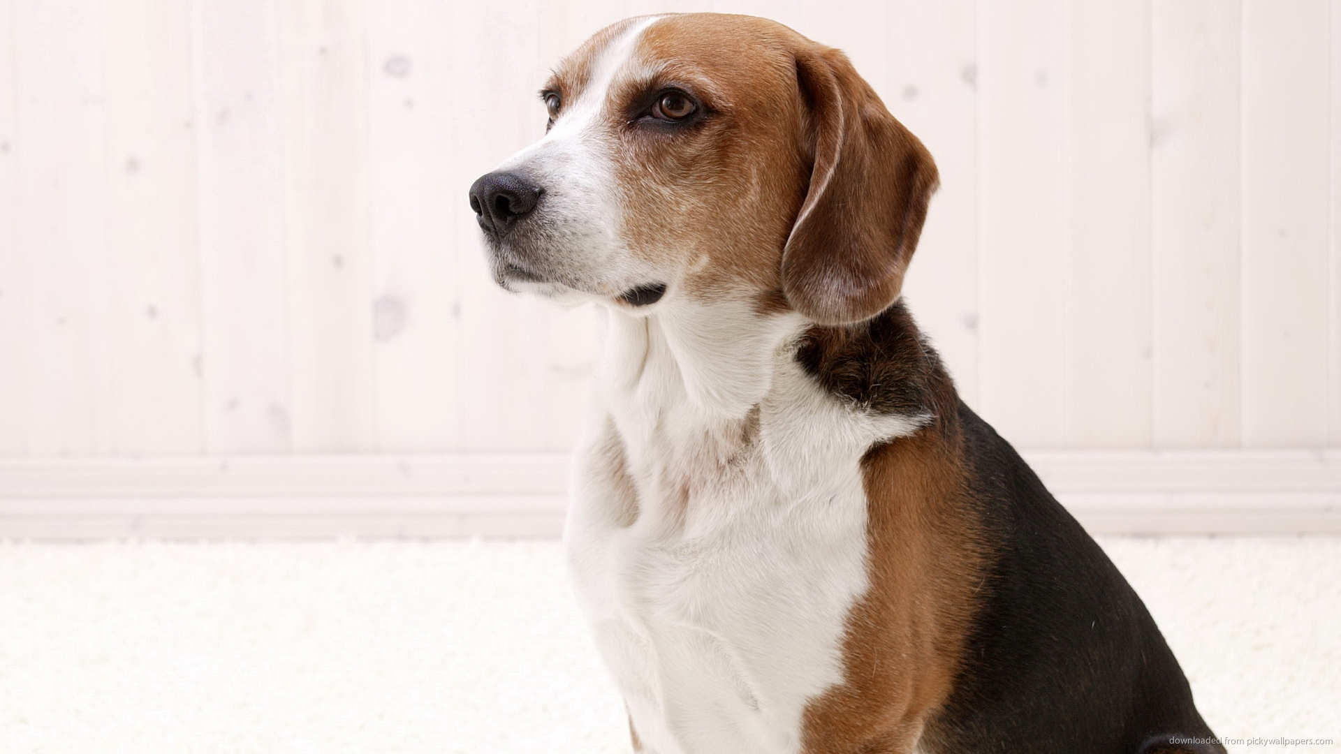 Download Proud American Foxhound Wallpaper 1920x1080px