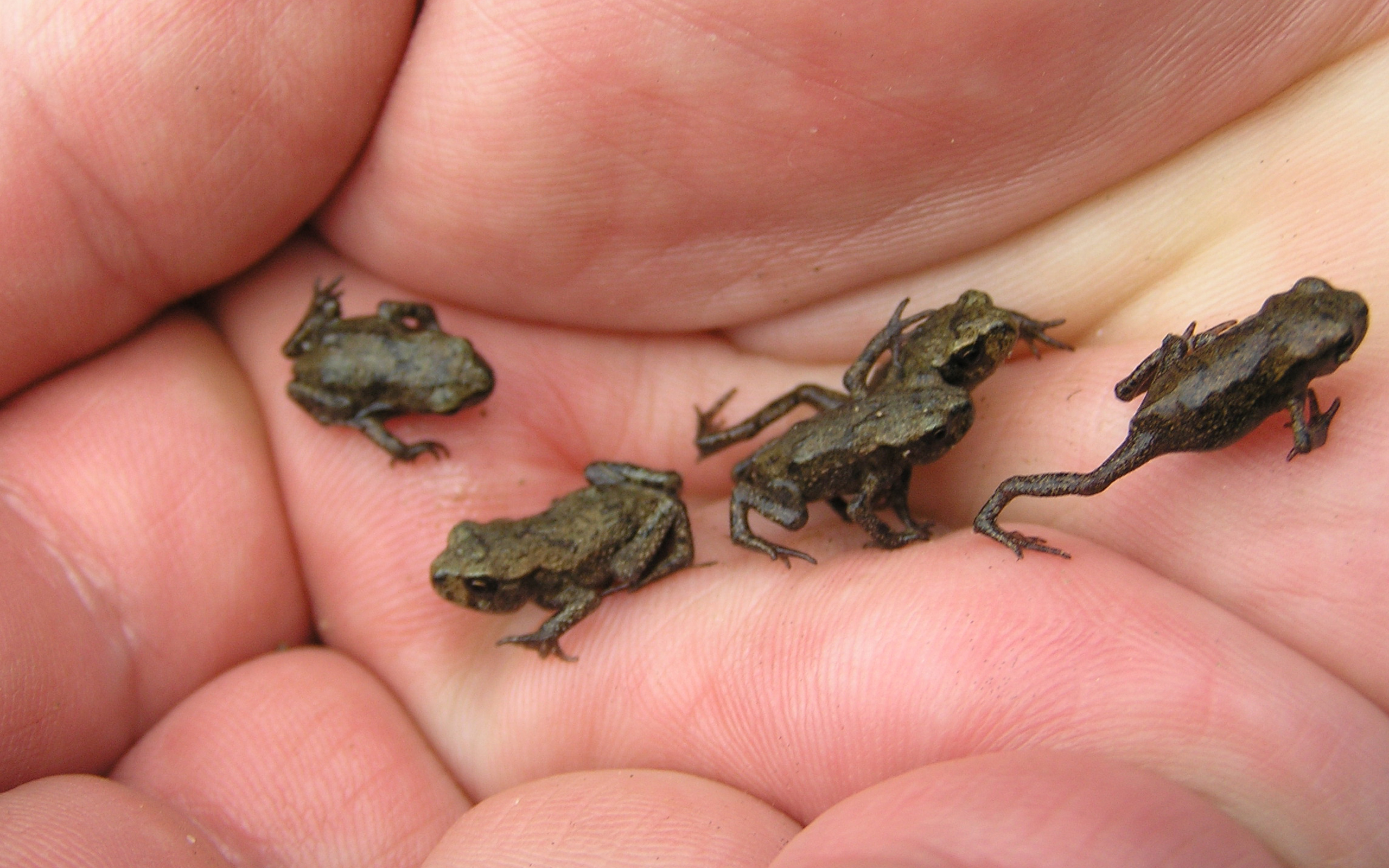 Amphibians animals frogs hands palm wallpaper HQ WALLPAPER - (#174680)