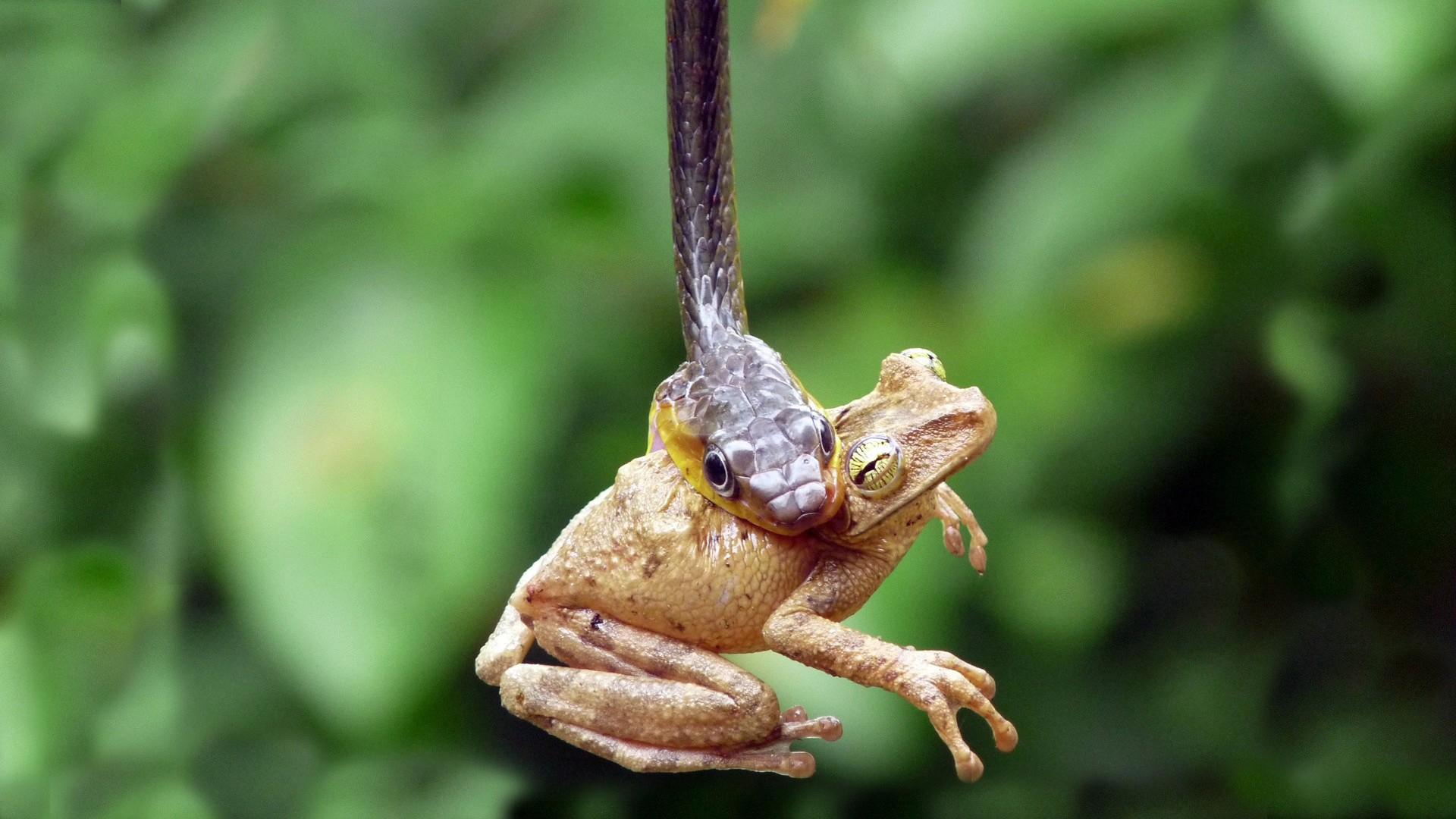 animals frogs snakes reptiles amphibians death battle hunting predator eyes wildife nature wallpaper background