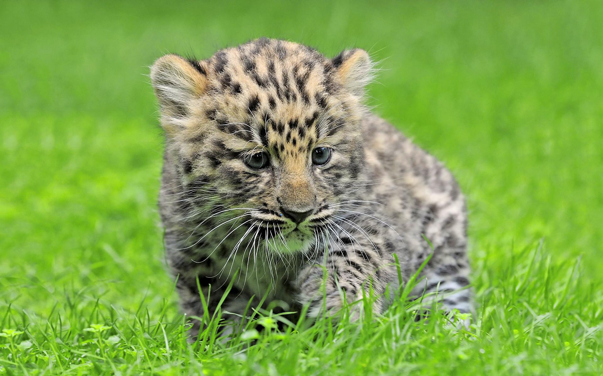 Amur leopard cub cute